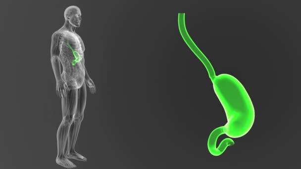 Kostra zadní pohled lidského žaludku, z těla na šedém pozadí