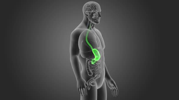 Kostra zadní pohled lidského žaludku na šedém pozadí