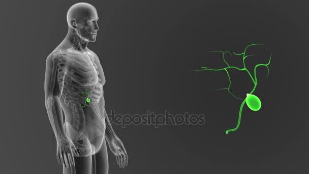 Kostra zadní pohled člověka žlučník, z těla na šedém pozadí