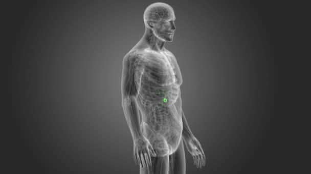 vista posteriore dello scheletro della cistifellea umana su priorità bassa grigia