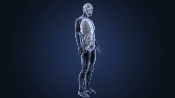 Skeleton Posterior View Human Organs Blue Background Stock Video