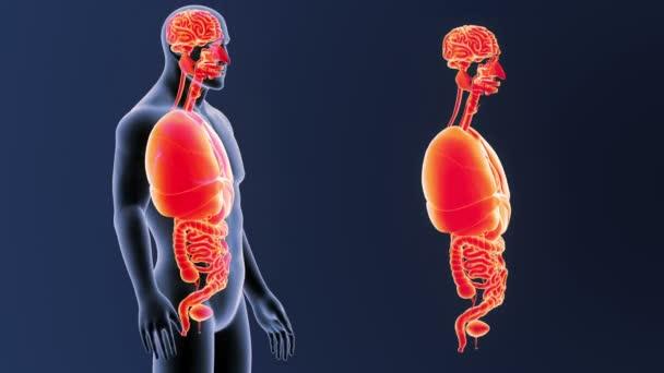 Kostra zadní pohled lidských orgánů z těla na modrém pozadí