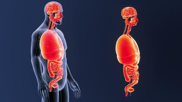 vista posteriore dello scheletro degli organi umani, fuori dal corpo su priorità bassa blu