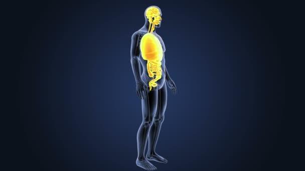 Vista posteriore dello scheletro degli organi umani su priorità bassa blu