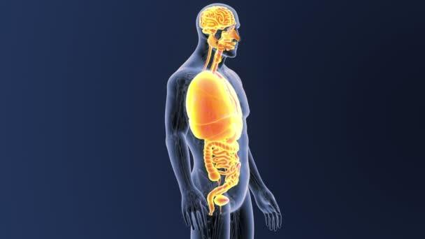 Kostra zadní pohled lidských orgánů na modrém pozadí