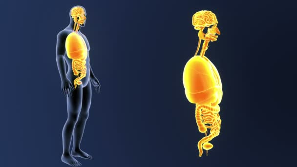 Skeleton Posterior View Human Organs Out Body Blue Background