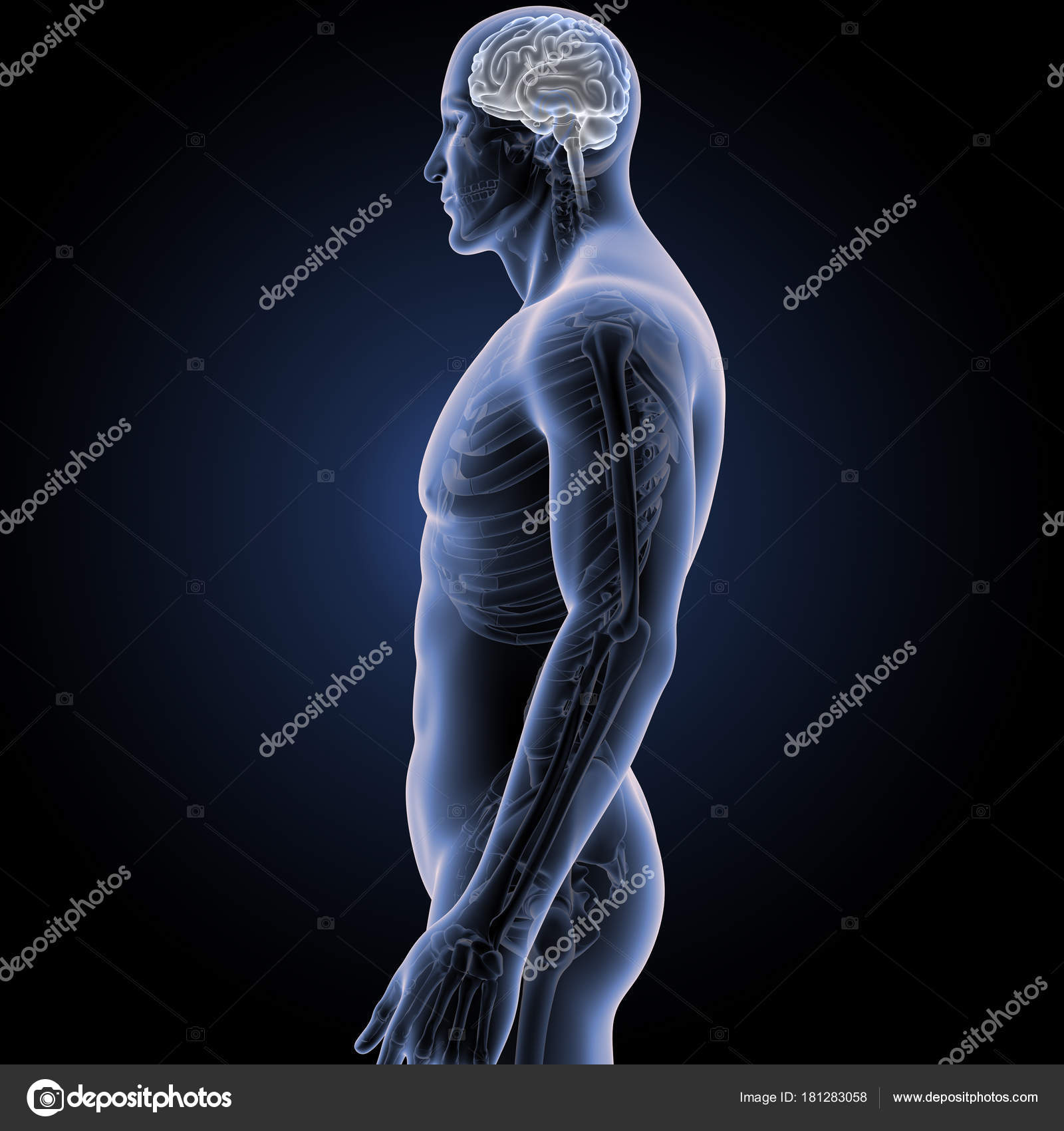 Gehirn mit Skelett Körper Seitenansicht — Stockfoto © sciencepics ...