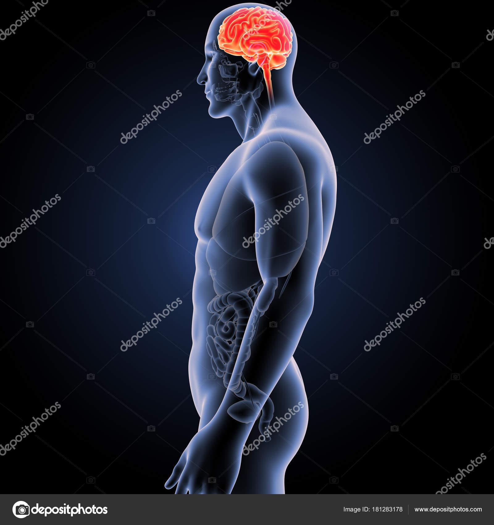 Cerebro con vista anterior del cuerpo — Foto de stock © sciencepics ...
