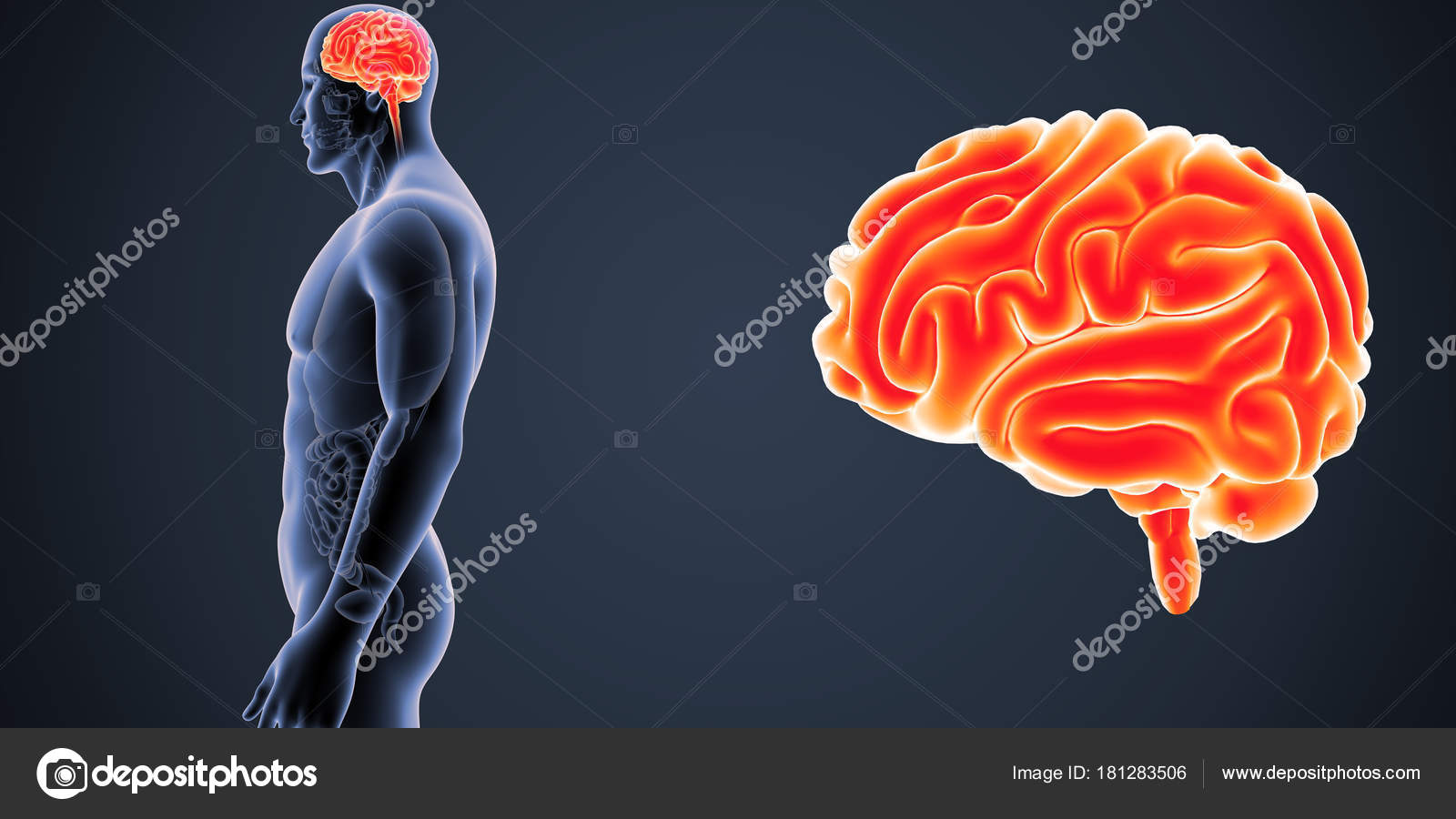 Zoom de cerebro con vista Lateral de órganos — Fotos de Stock ...