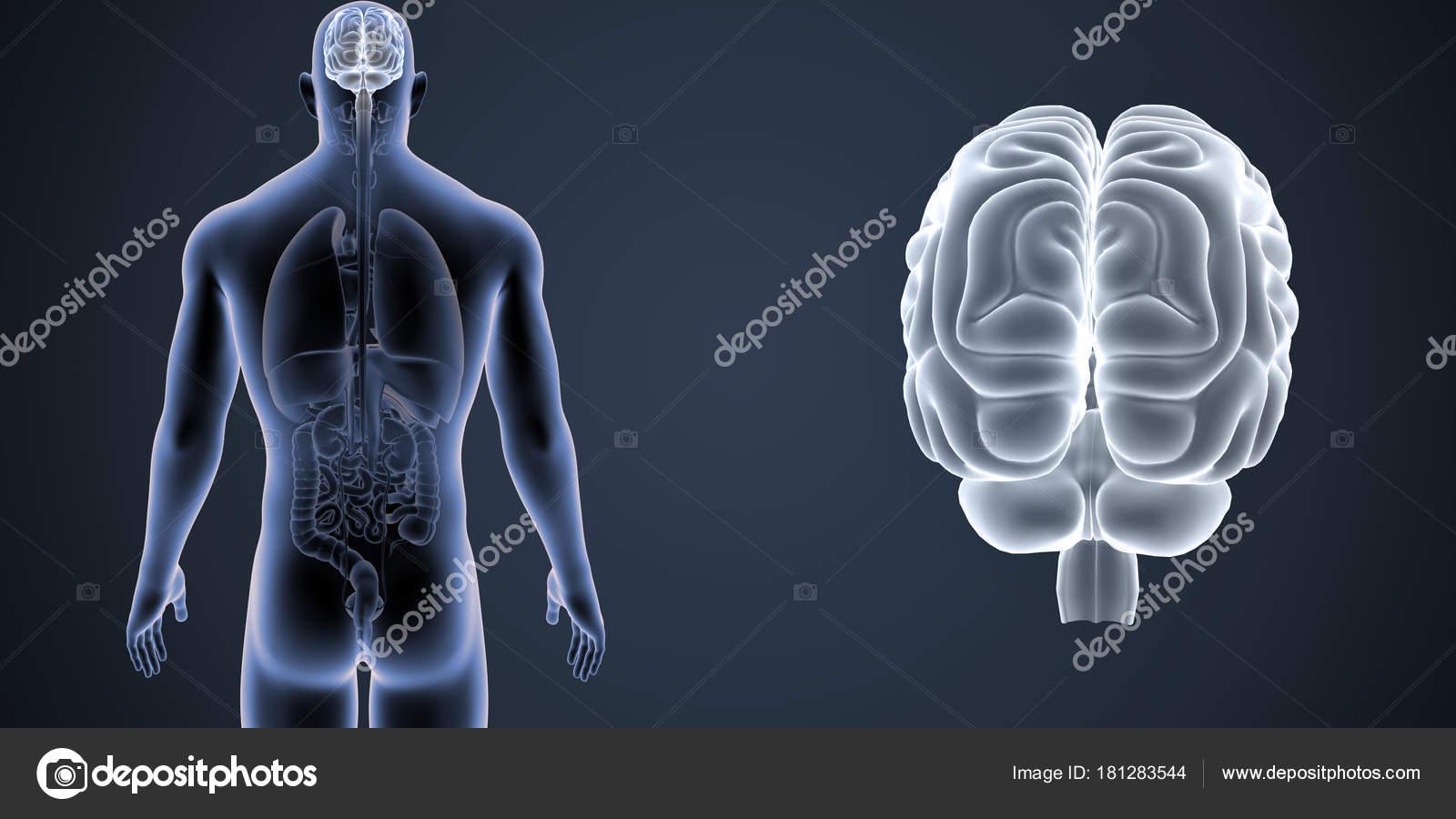 Zoom de cerebro con Vista Posterior de los órganos — Fotos de Stock ...