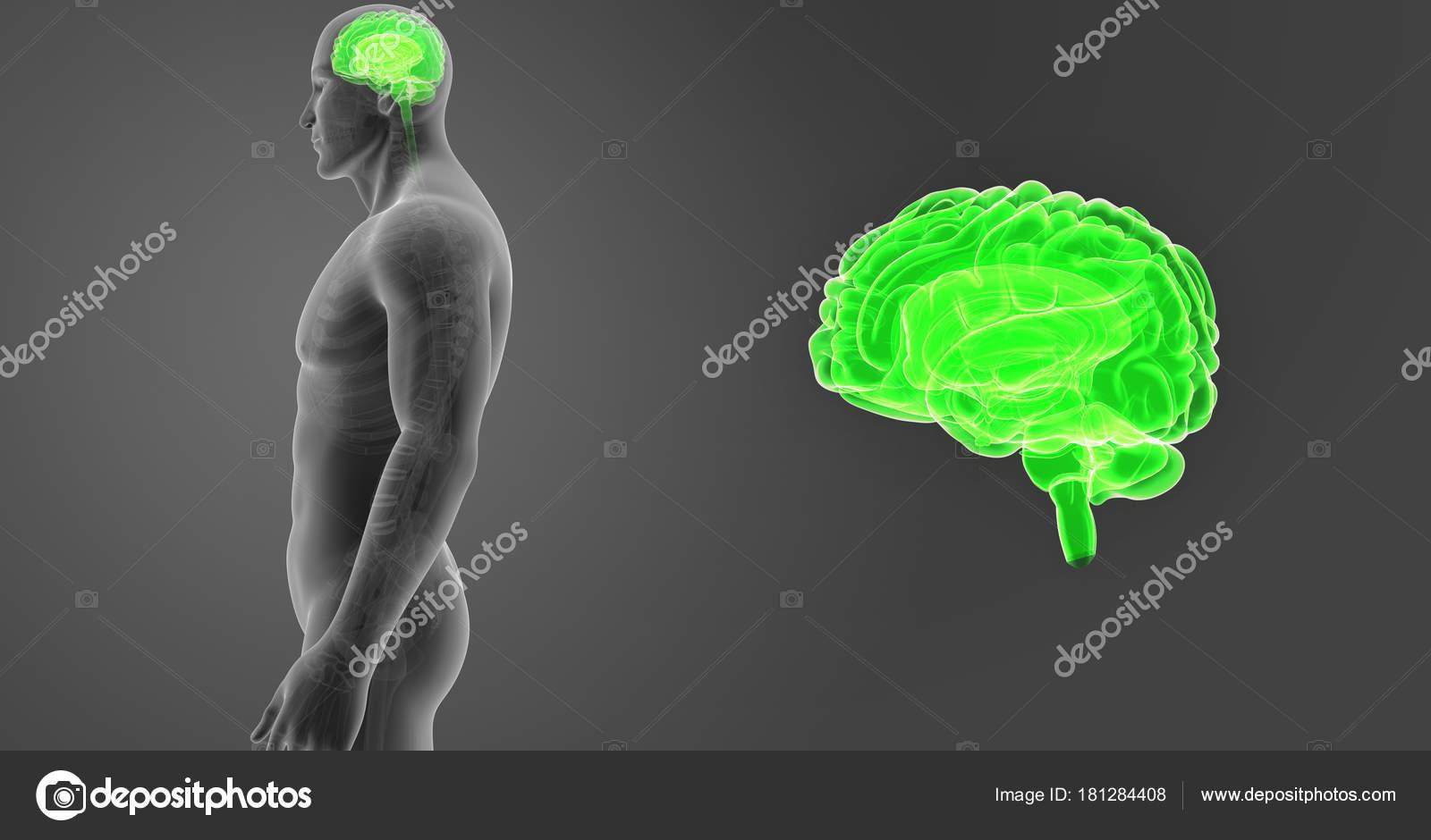 Menschliches Gehirn Zoom Mit Skelett Körper Anterior Illustration ...