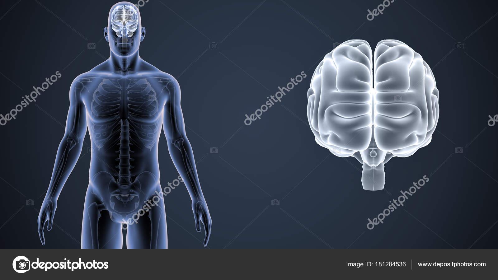 Human Brain Zoom Skeleton Body Anterior Illustration Dark