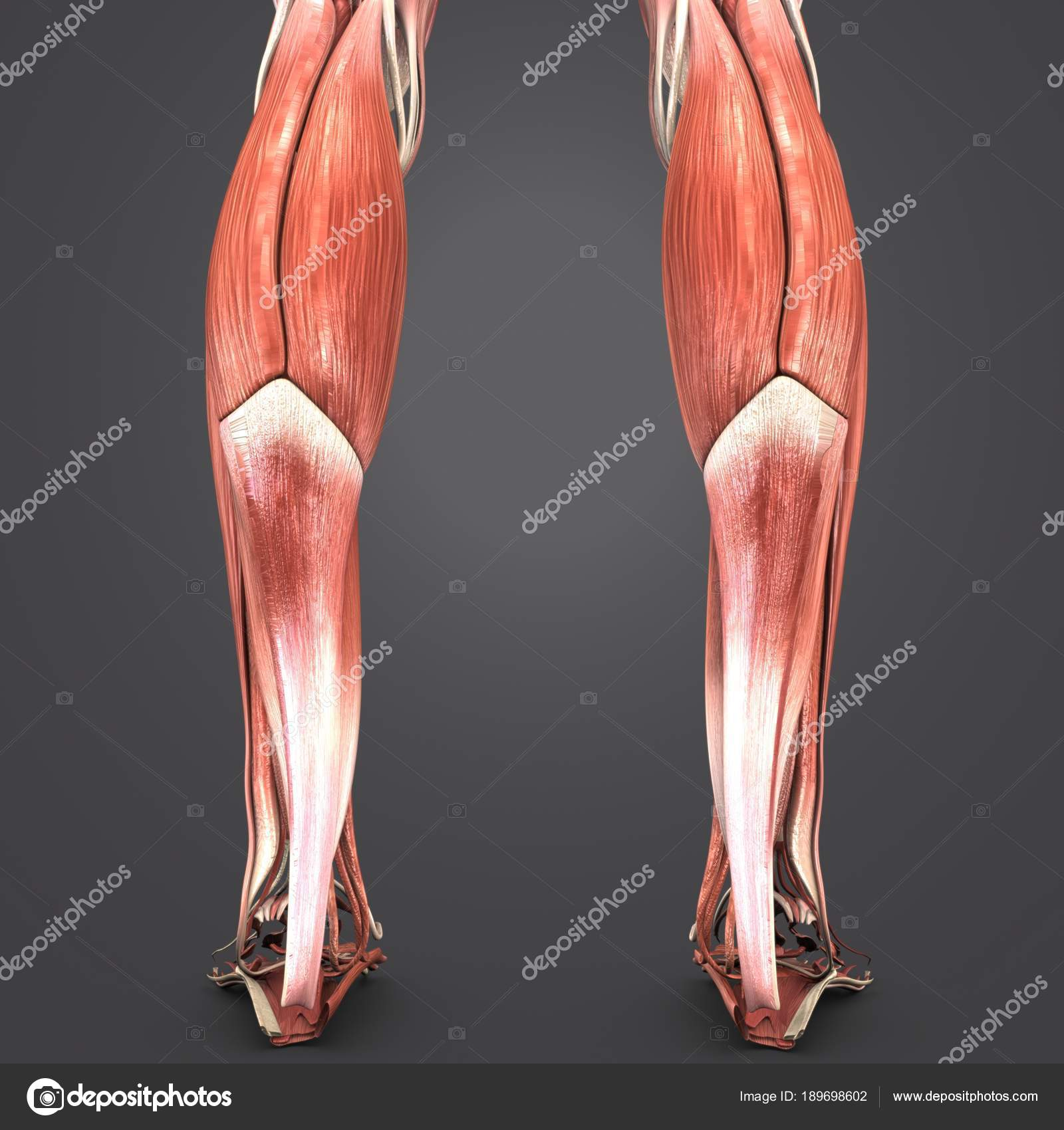 Colorful Medical Illustration Human Muscles Legs — Stock Photo ...