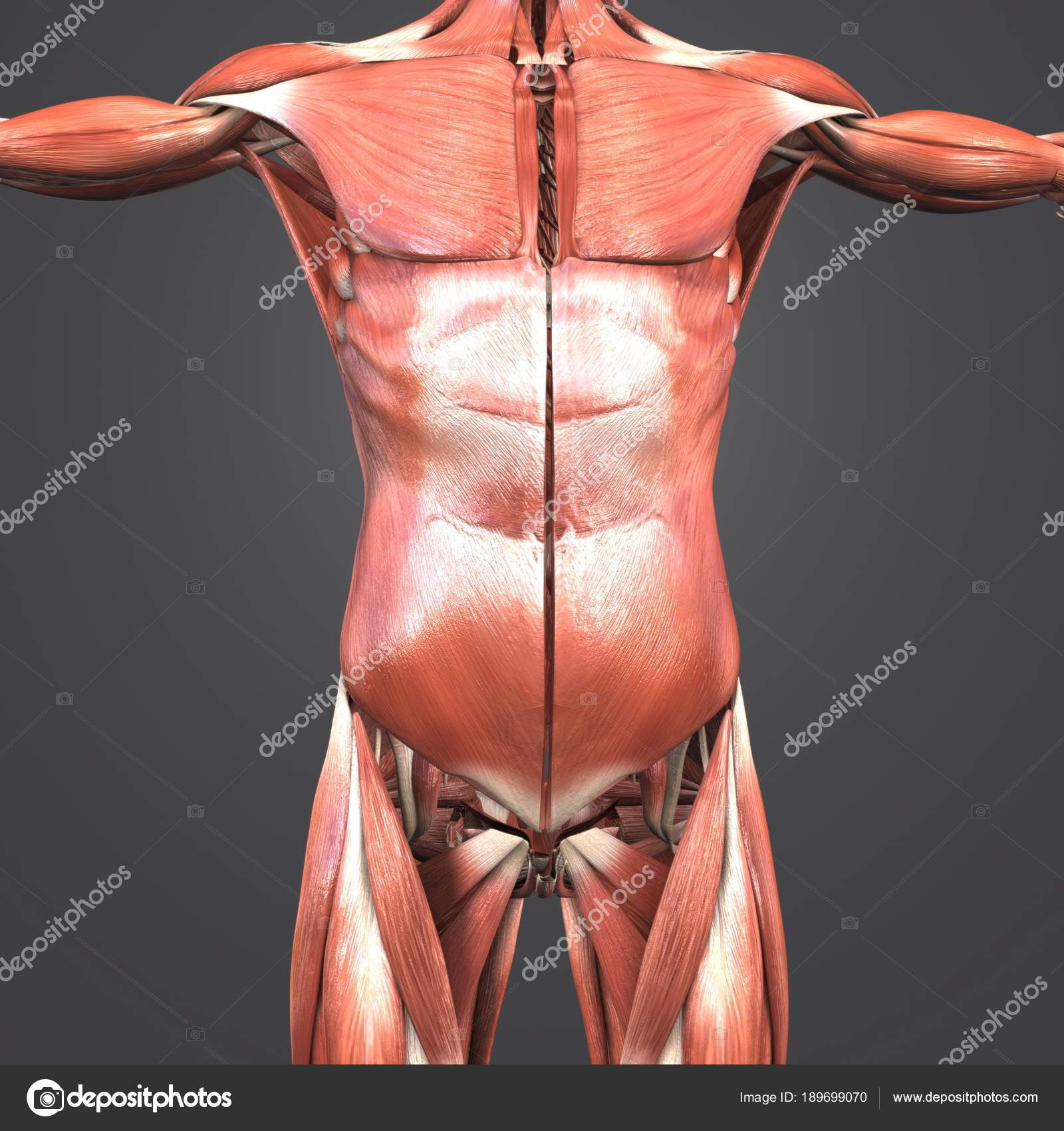 Colorful Medical Illustration Human Upper Body Anatomy Muscles