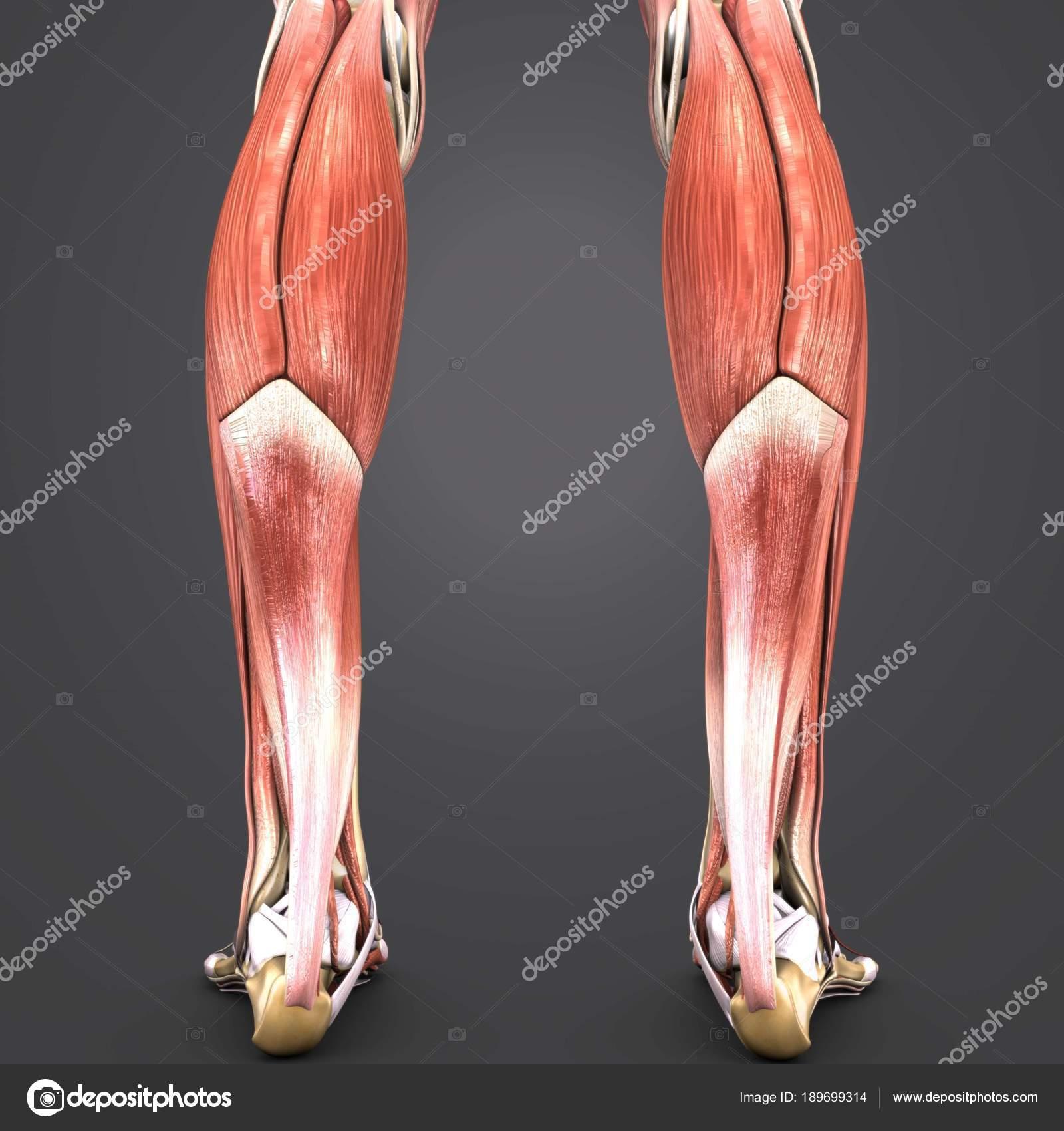 Bunte Medizinische Illustration Der Menschlichen Muskeln Der Beine ...