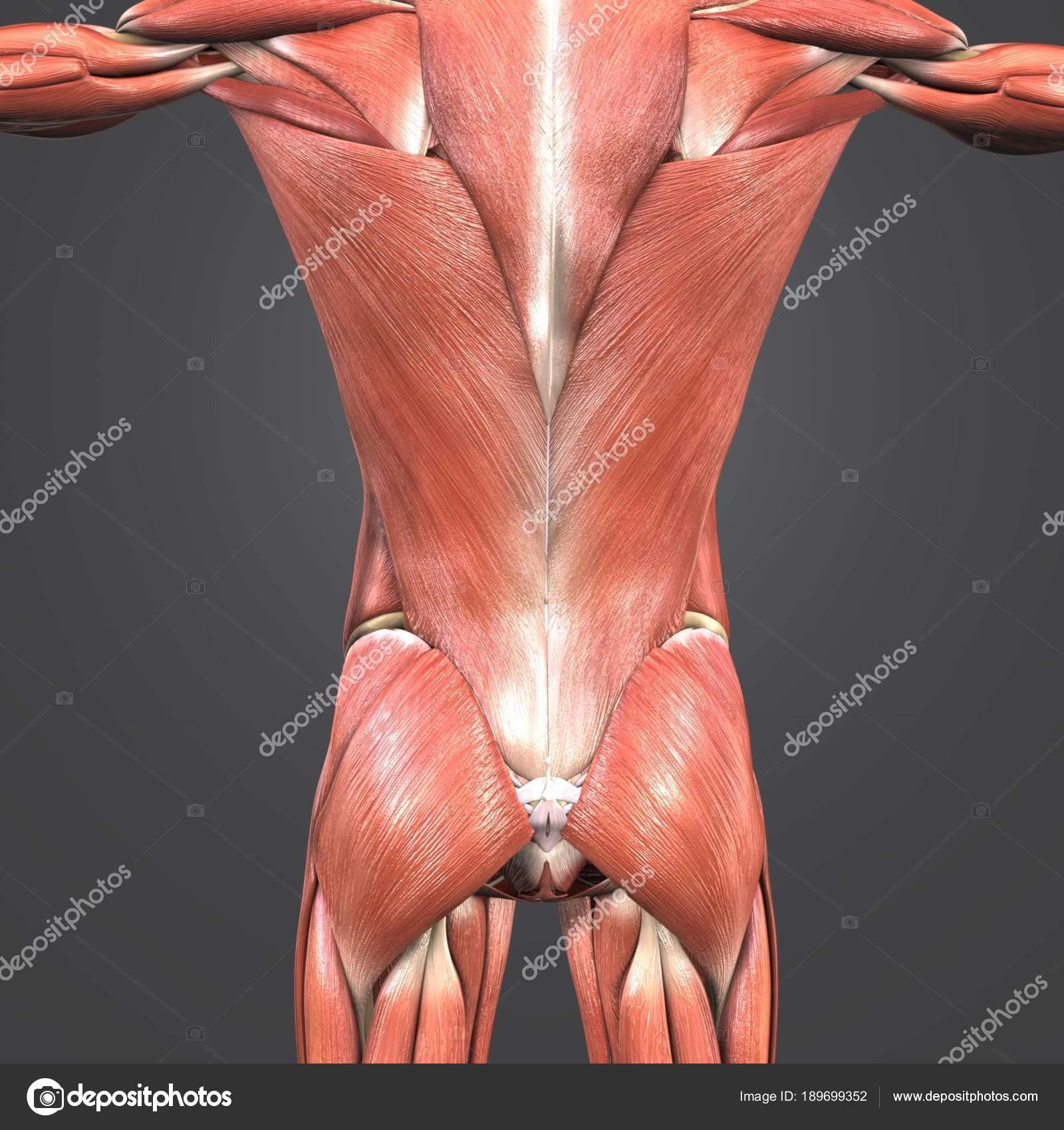 Colorida Ilustración Médica Músculos Humanos Columna Vertebral ...