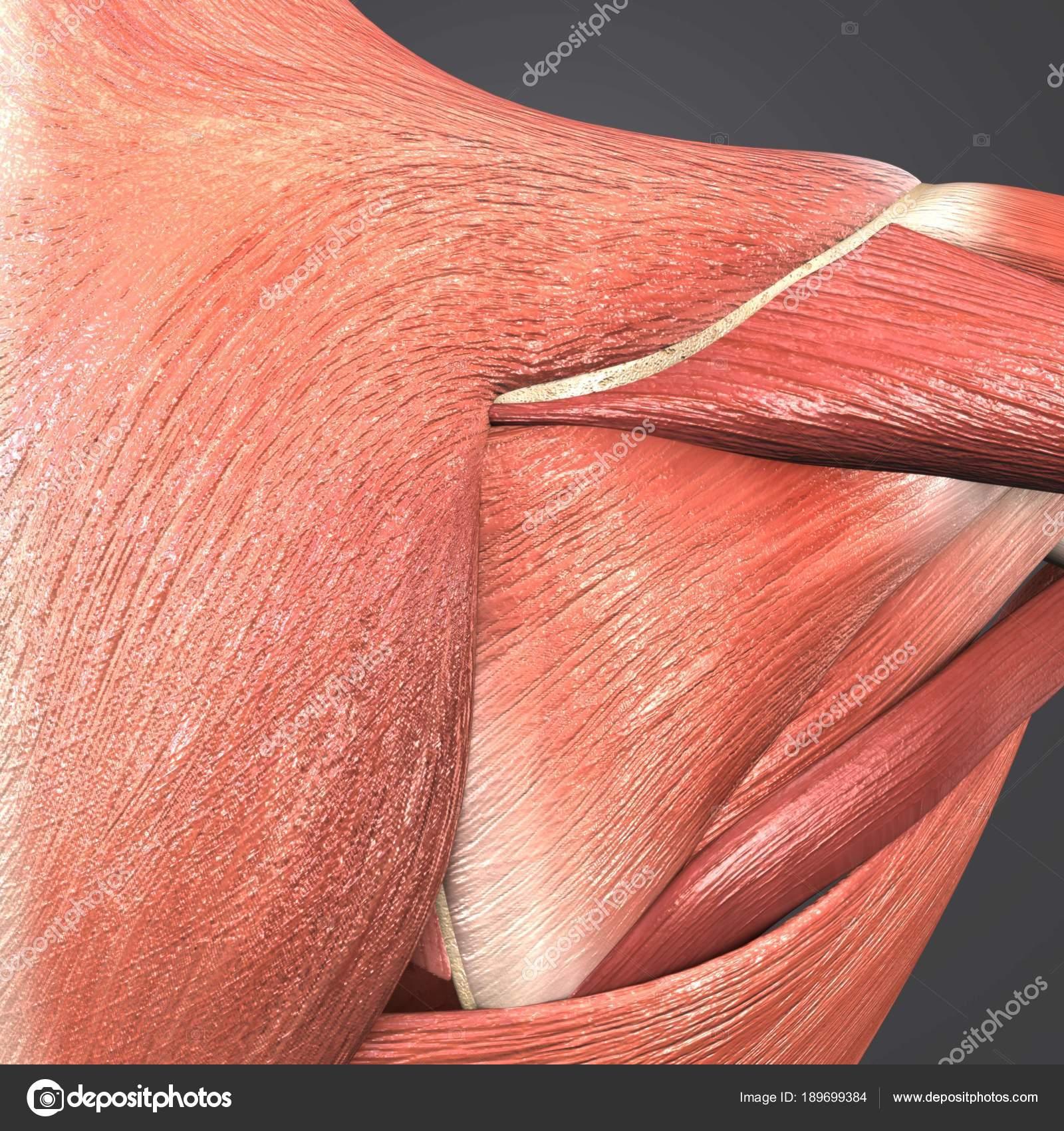 Colorful Medical Illustration Human Shoulder Muscles Stock Photo