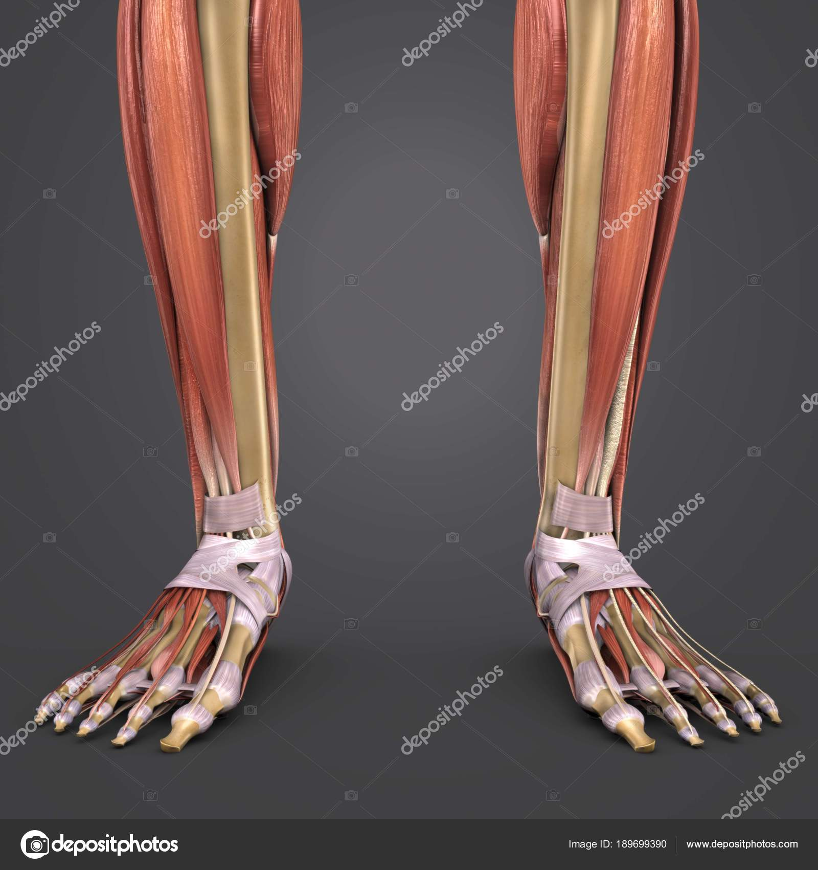 Colorful Medical Illustration Human Legs Muscles Stock Photo