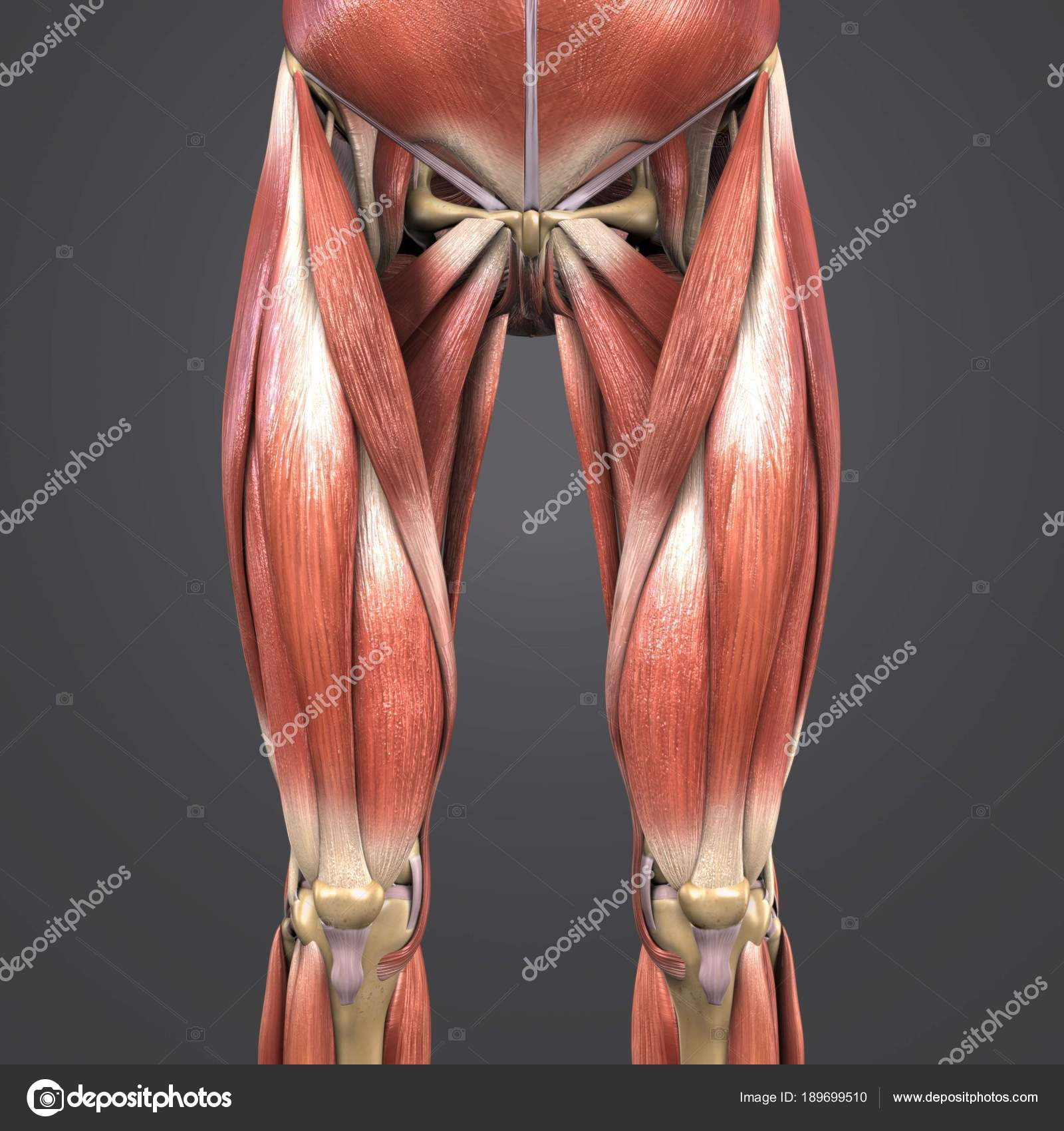 Colorful Medical Illustration Human Hip Thigh Muscles Bones — Stock ...