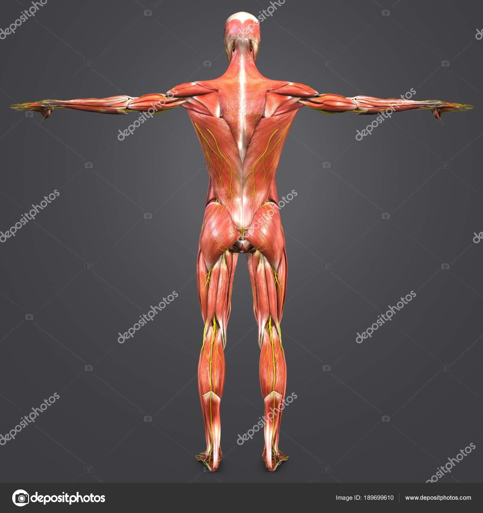 Colorful Medical Illustration Human Muscular Anatomy Stock Photo