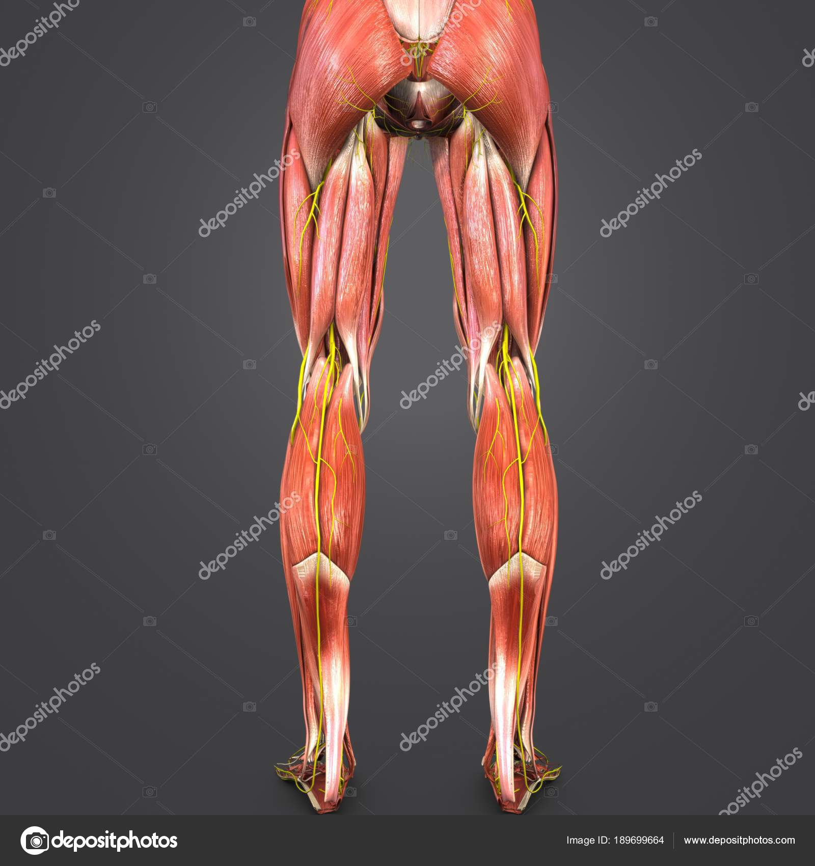 Colorful Medical Illustration Human Lower Limbs Nerves Stock Photo