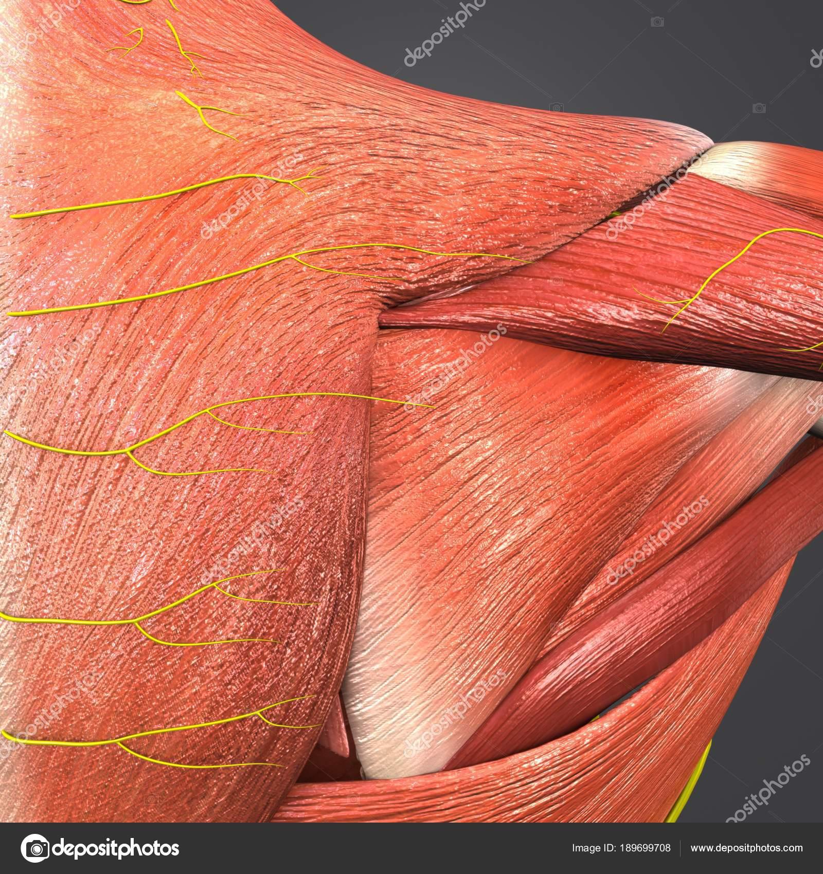 Colorful Medical Illustration Human Shoulder Muscles Nerves — Stock ...