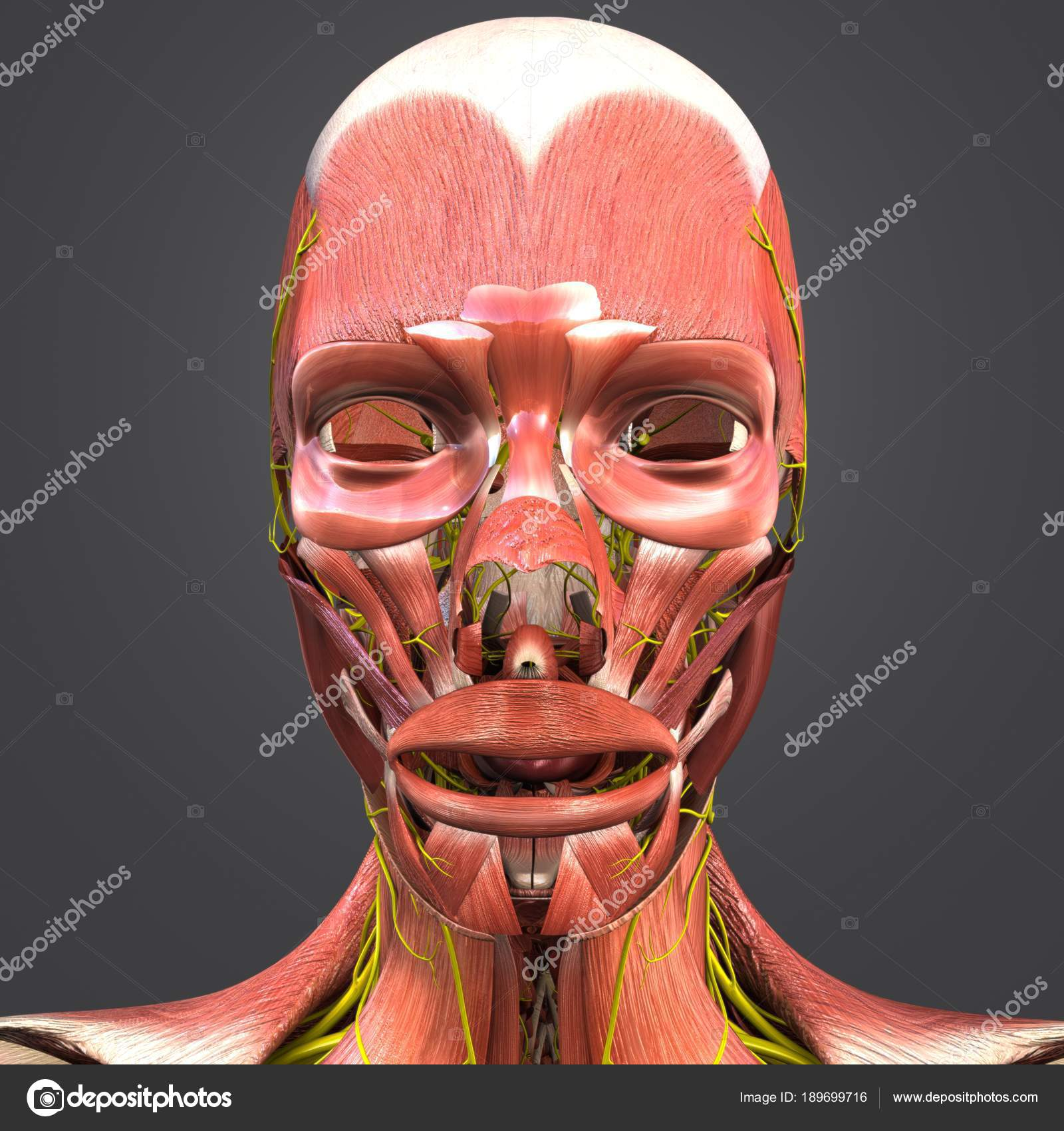 Colorful Medical Illustration Human Facial Muscles Nerves Stock
