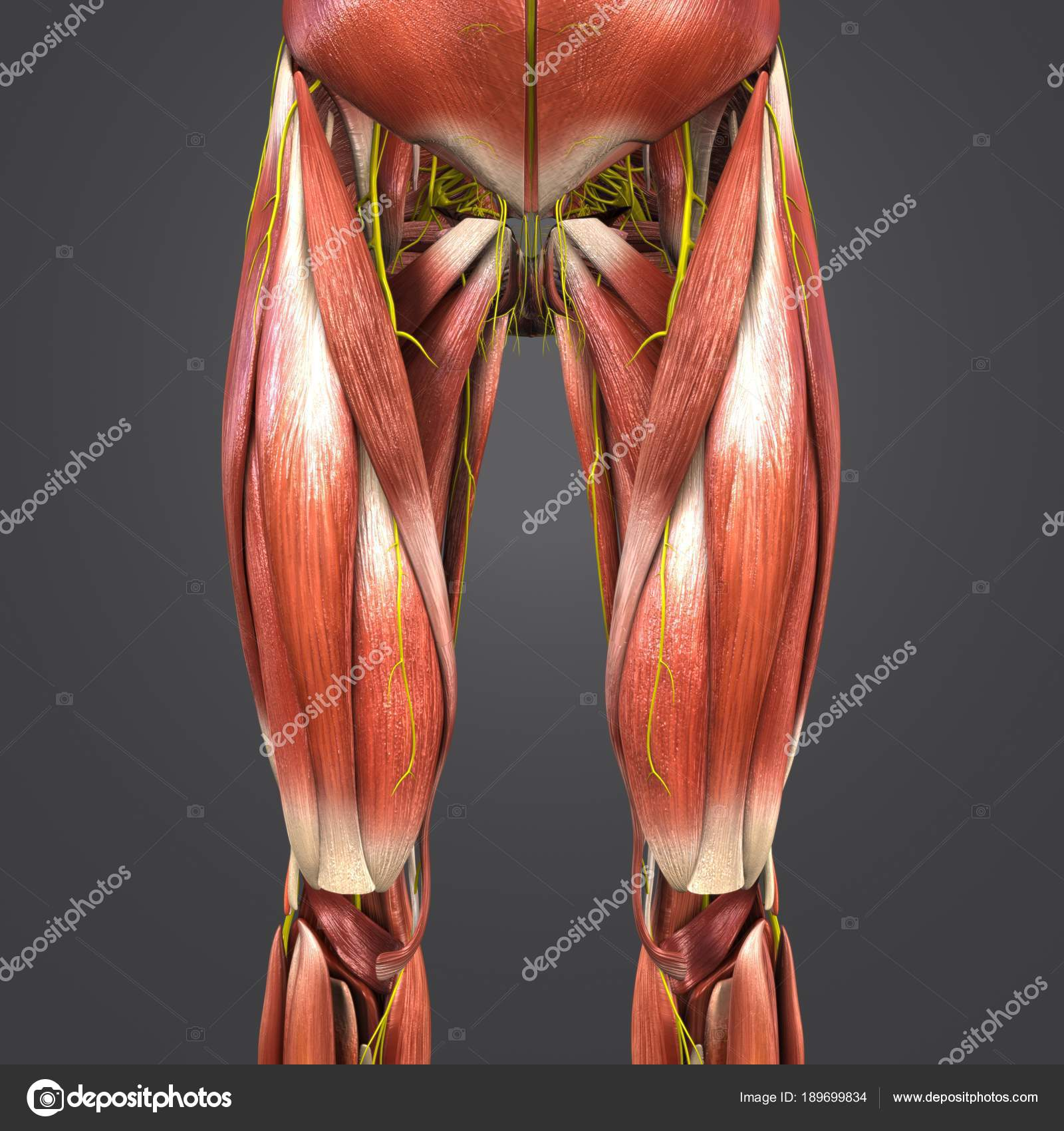 Colorful Medical Illustration Human Hip Thigh Muscles — Stock Photo ...
