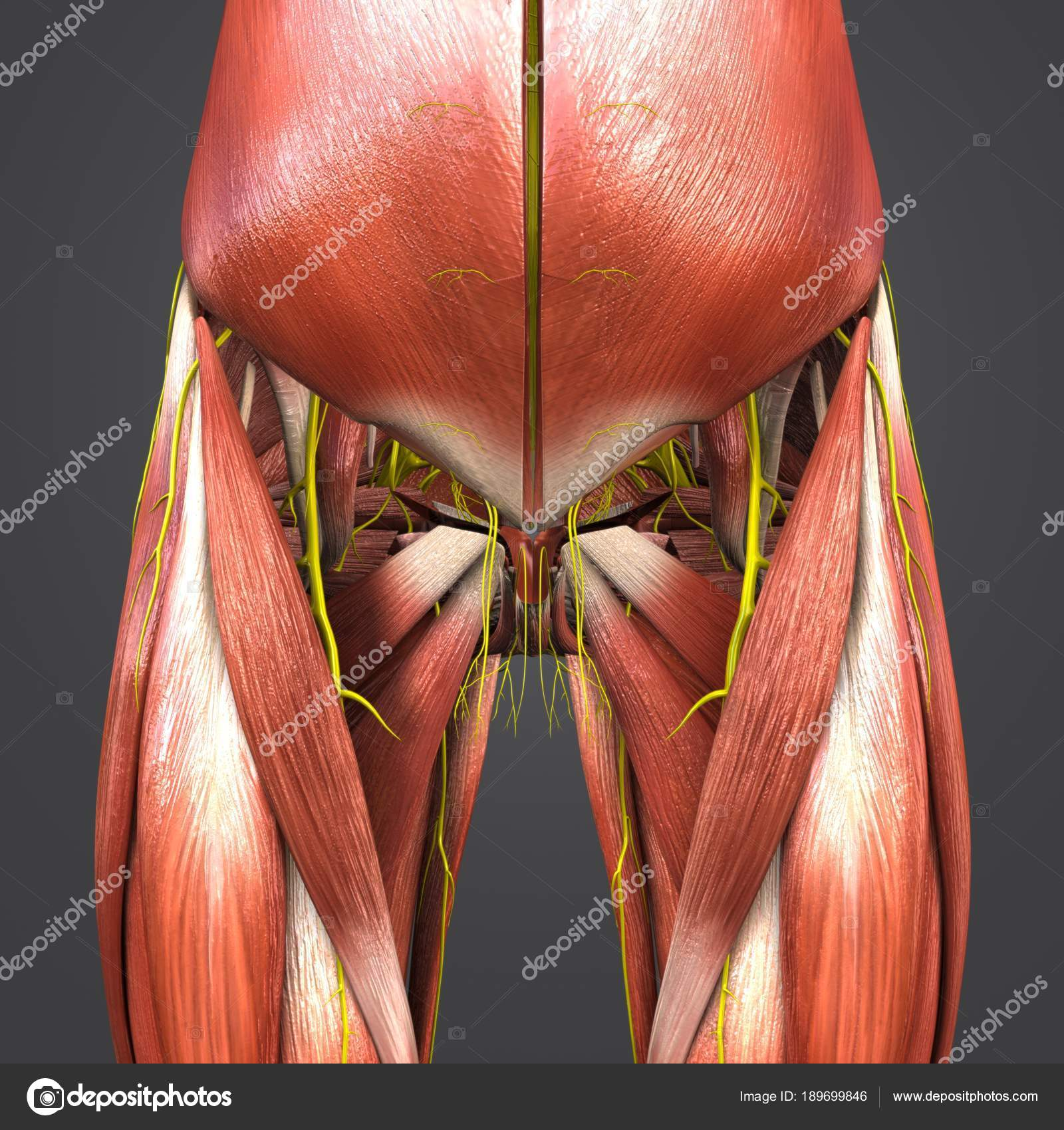 Colorful Medical Illustration Human Hip Thigh Muscles Stock Photo