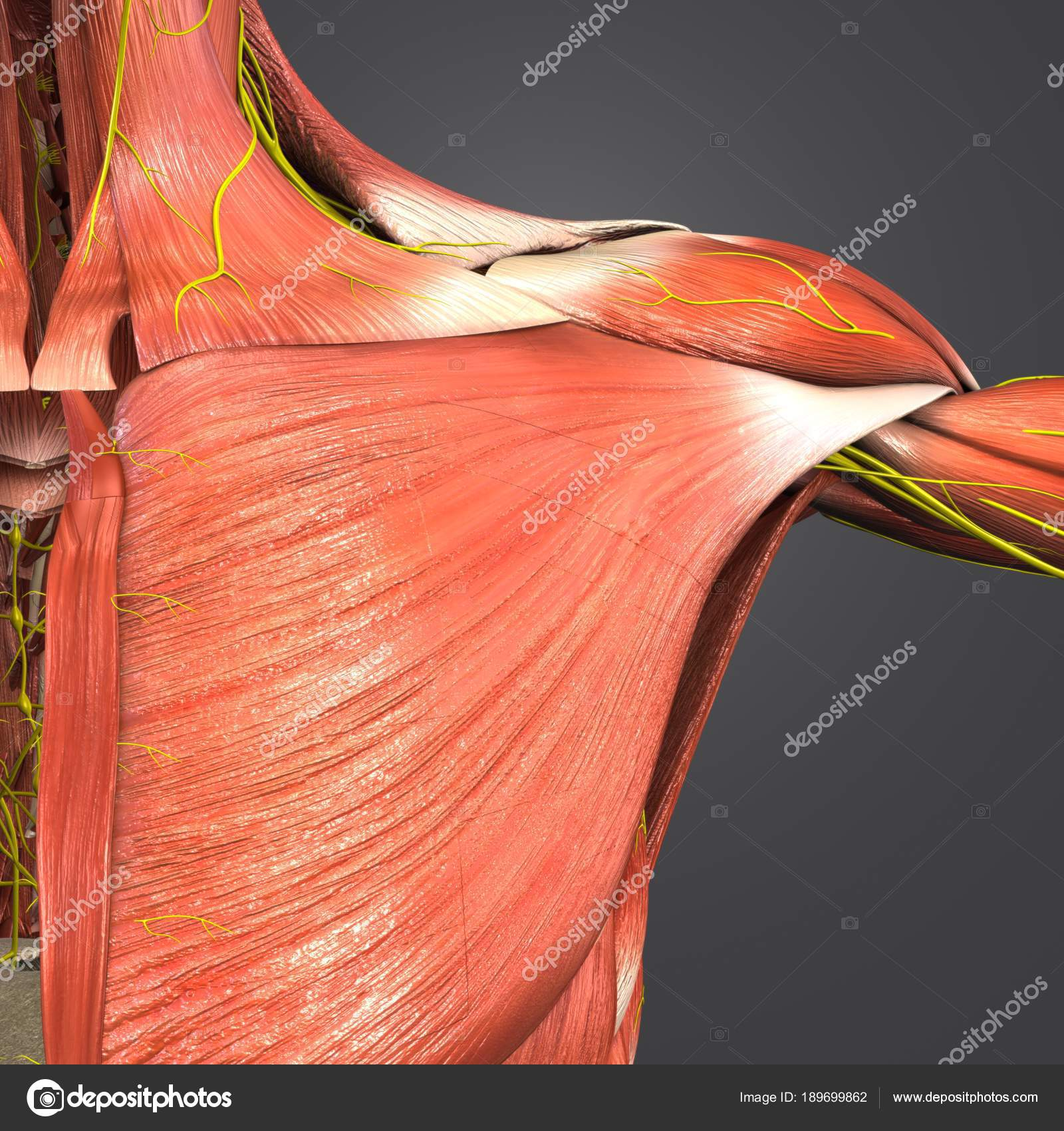 Colorful Medical Illustration Human Shoulder Muscles Nerves — Stock ...