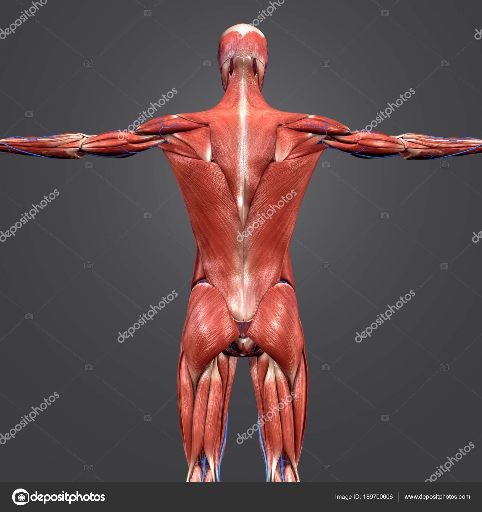 Colorida Ilustración Médica Anatomía Muscular Humana Con Las Venas ...