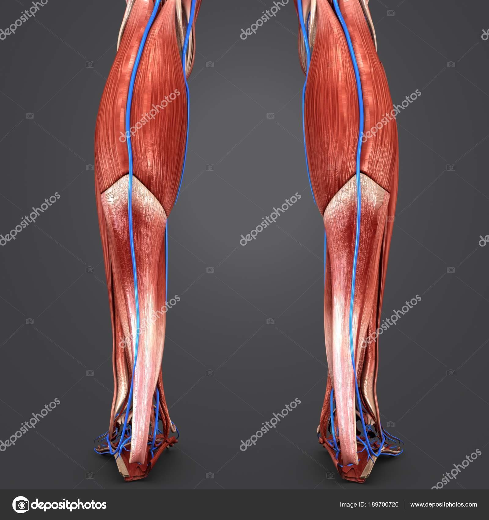 Colorful Medical Illustration Human Legs Veins — Stock Photo ...