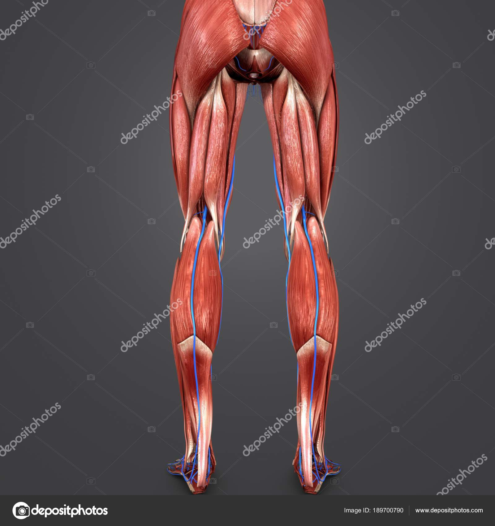 Colorful Medical Illustration Human Lower Limbs Veins Posterior View ...