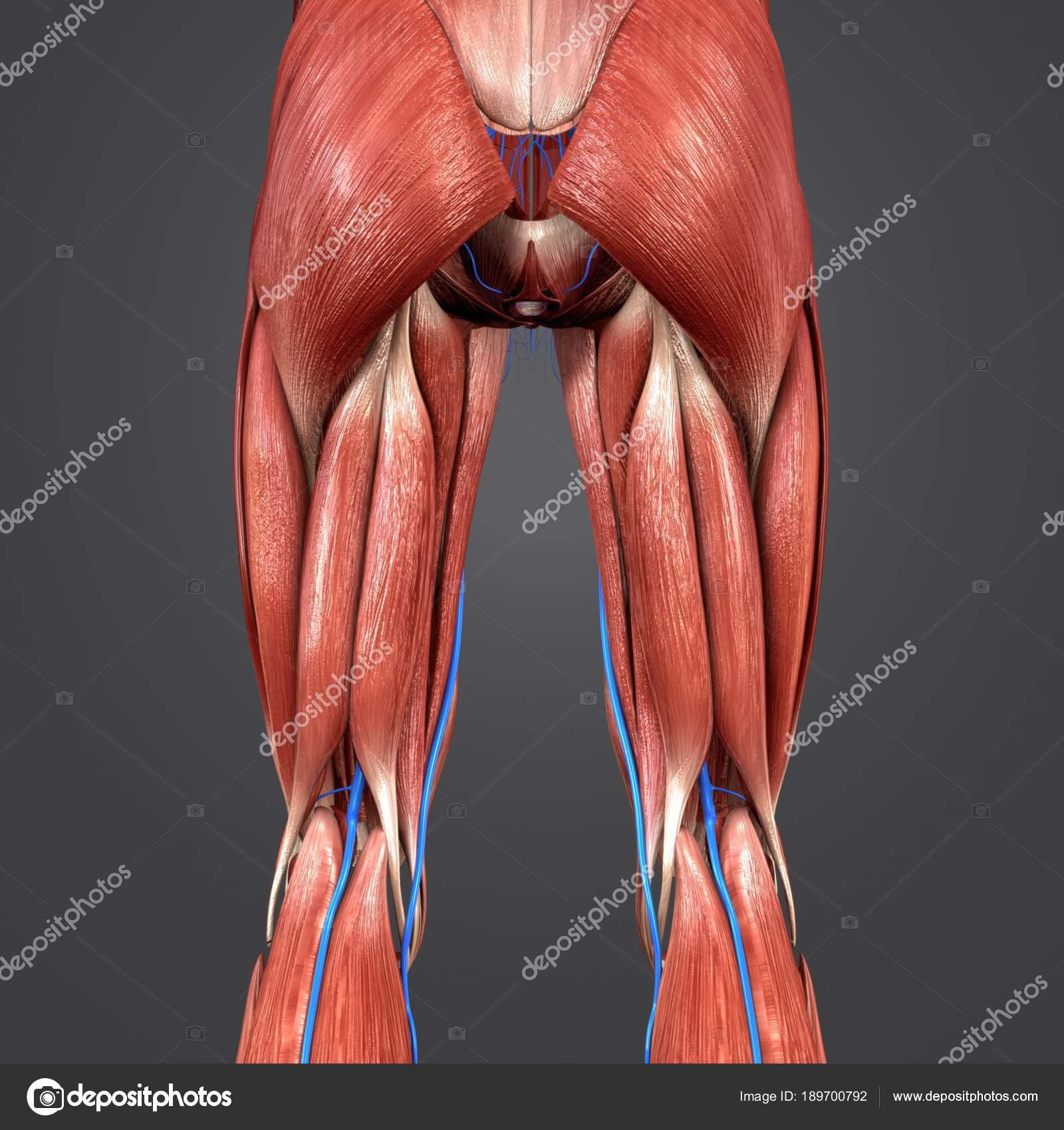 Colorida Ilustración Médica Los Miembros Inferiores Humanos Con ...