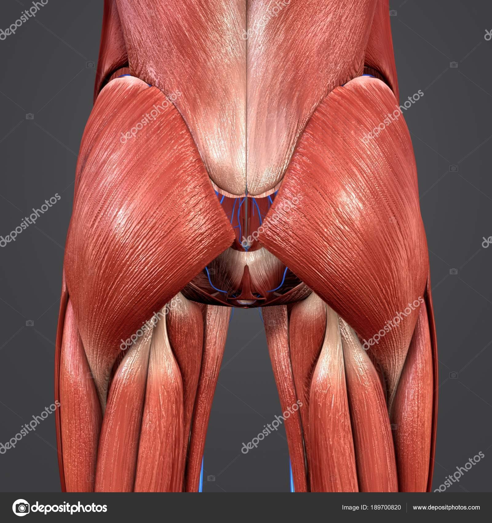 Bunte Medizinische Illustration Der Menschlichen Hüfte Muskeln ...