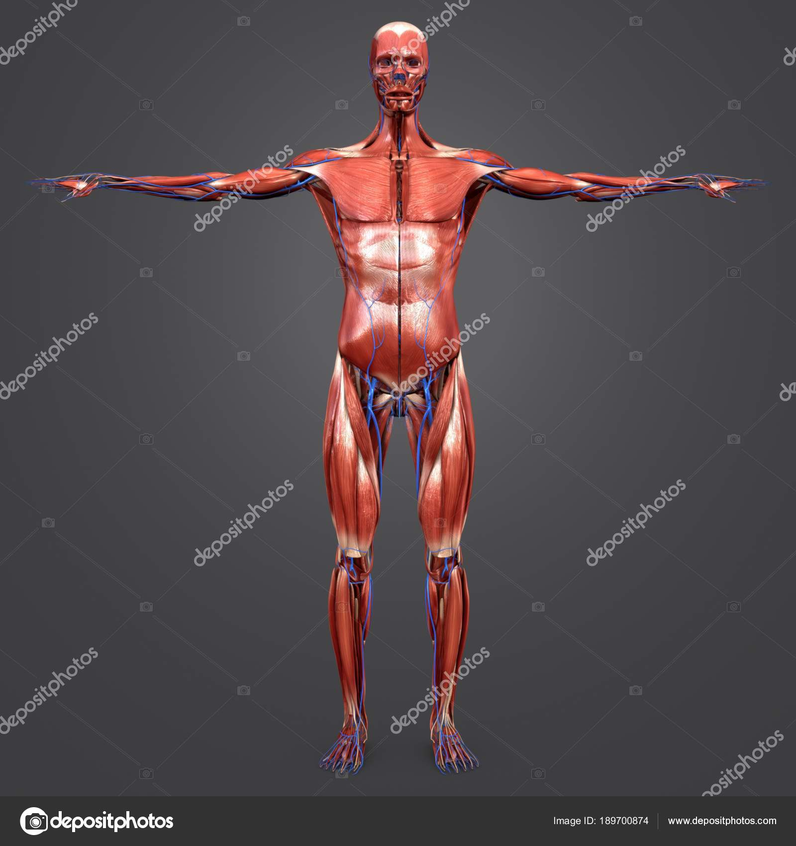 Colorful Medical Illustration Human Muscular Anatomy Veins — Stock ...