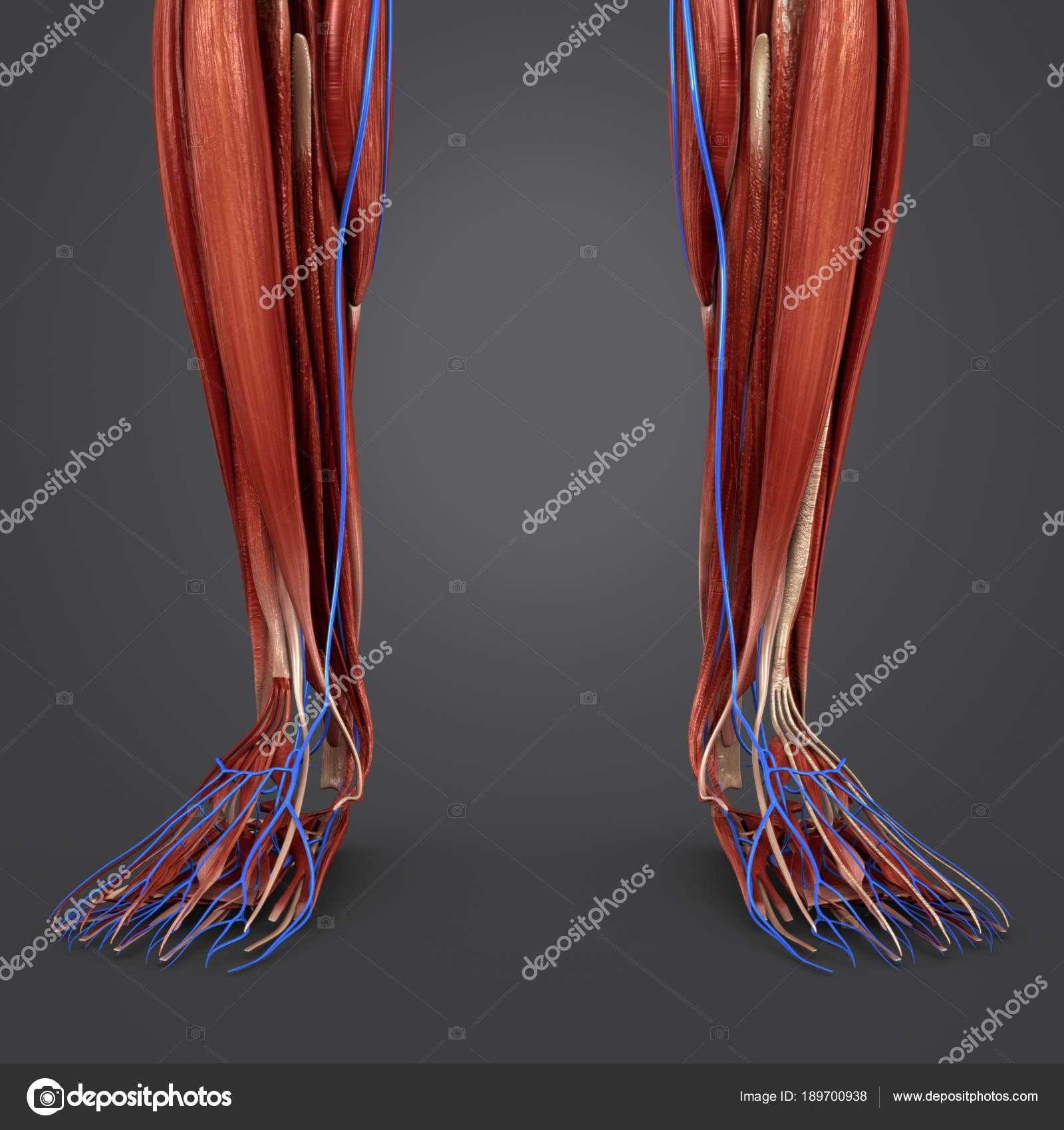 Colorful Medical Illustration Human Leg Muscles Veins — Stock Photo ...