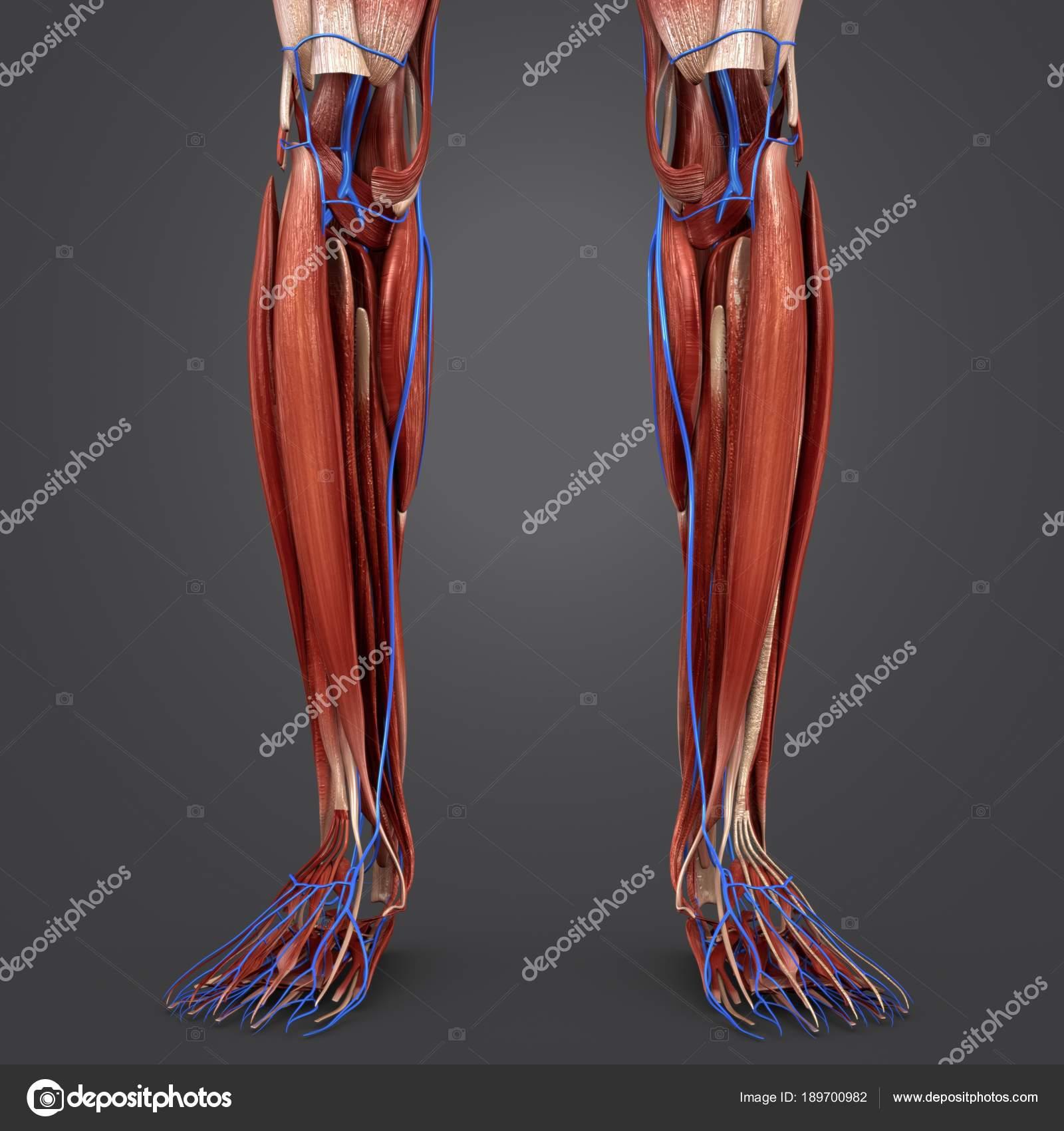 Colorida Ilustración Médica Humana Músculos Las Piernas Con Venas ...