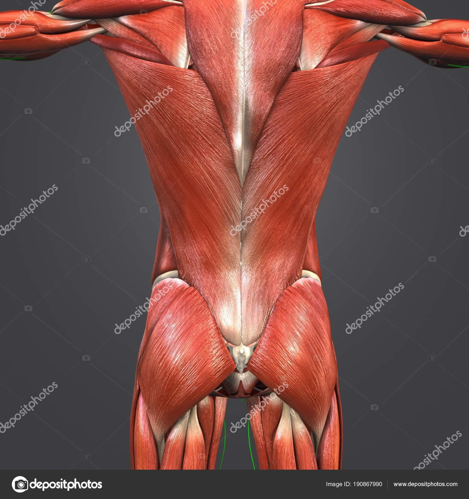 Colorido Médico Ilustración Músculos Humanos Columna Vertebral Con ...