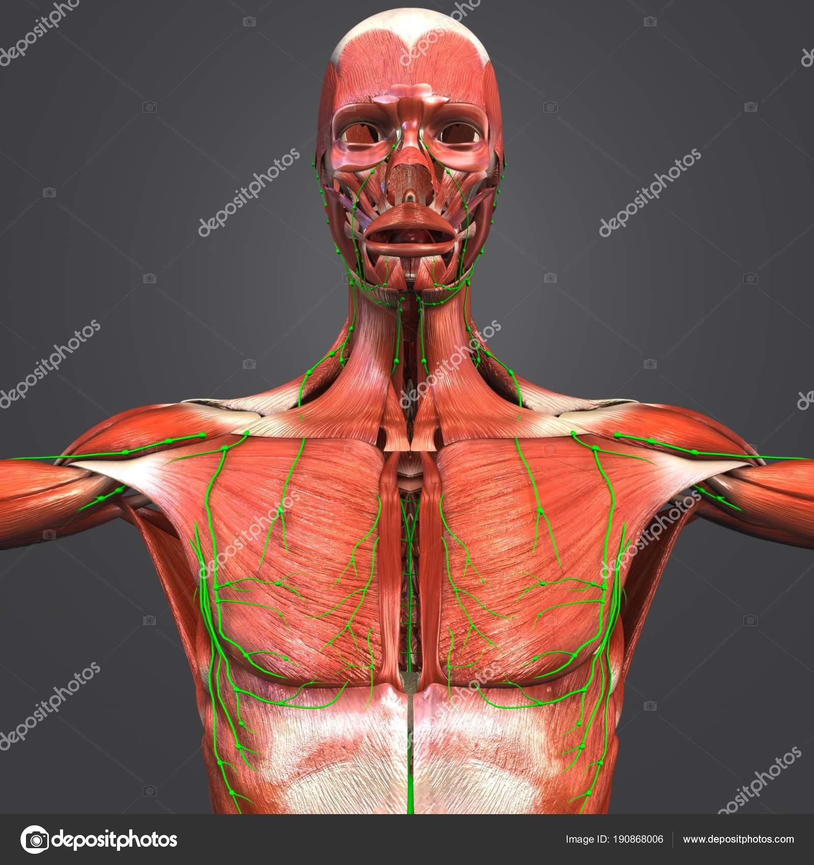 Colorida Ilustración Médica Anatomía Muscular Humana Con Ganglios ...