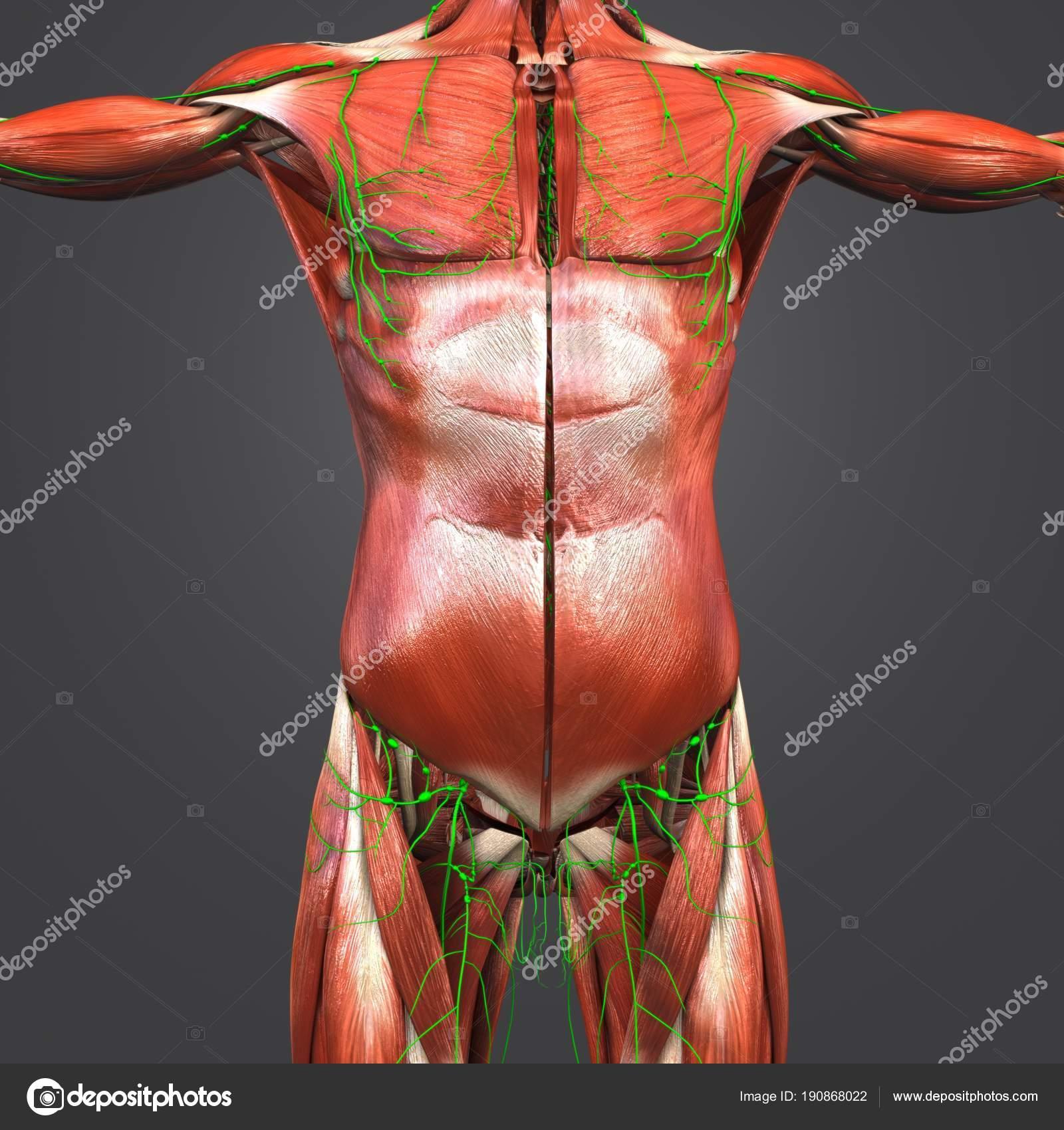 Excelente Anatomía Humana Colina Mcgraw Molde - Anatomía de Las ...