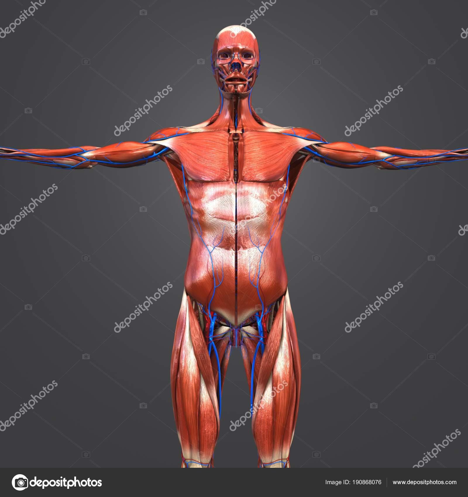 Colorful Medical Illustration Human Muscular Anatomy Circulatory