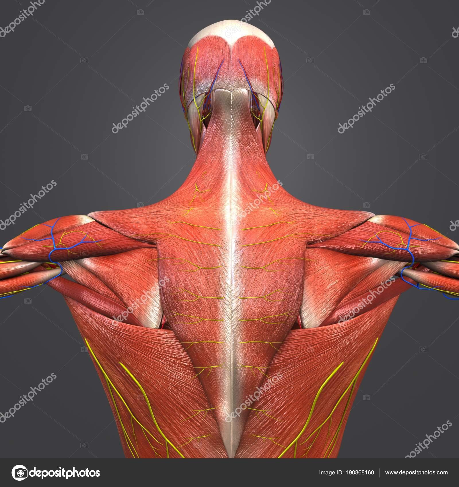 Bunte Medizinische Illustration Der Muskulären Anatomie Mit Herz ...
