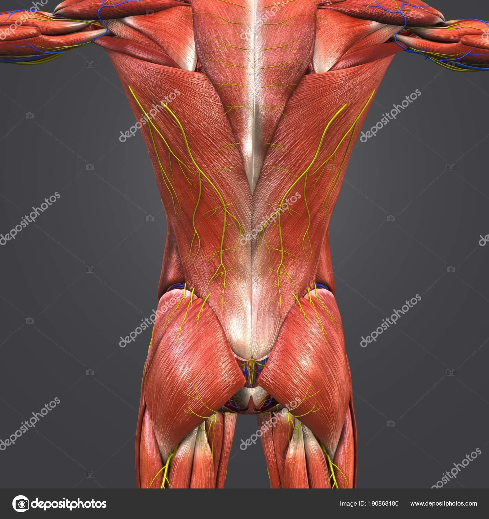 Colorful Medical Illustration Human Muscles Vertebral Column ...