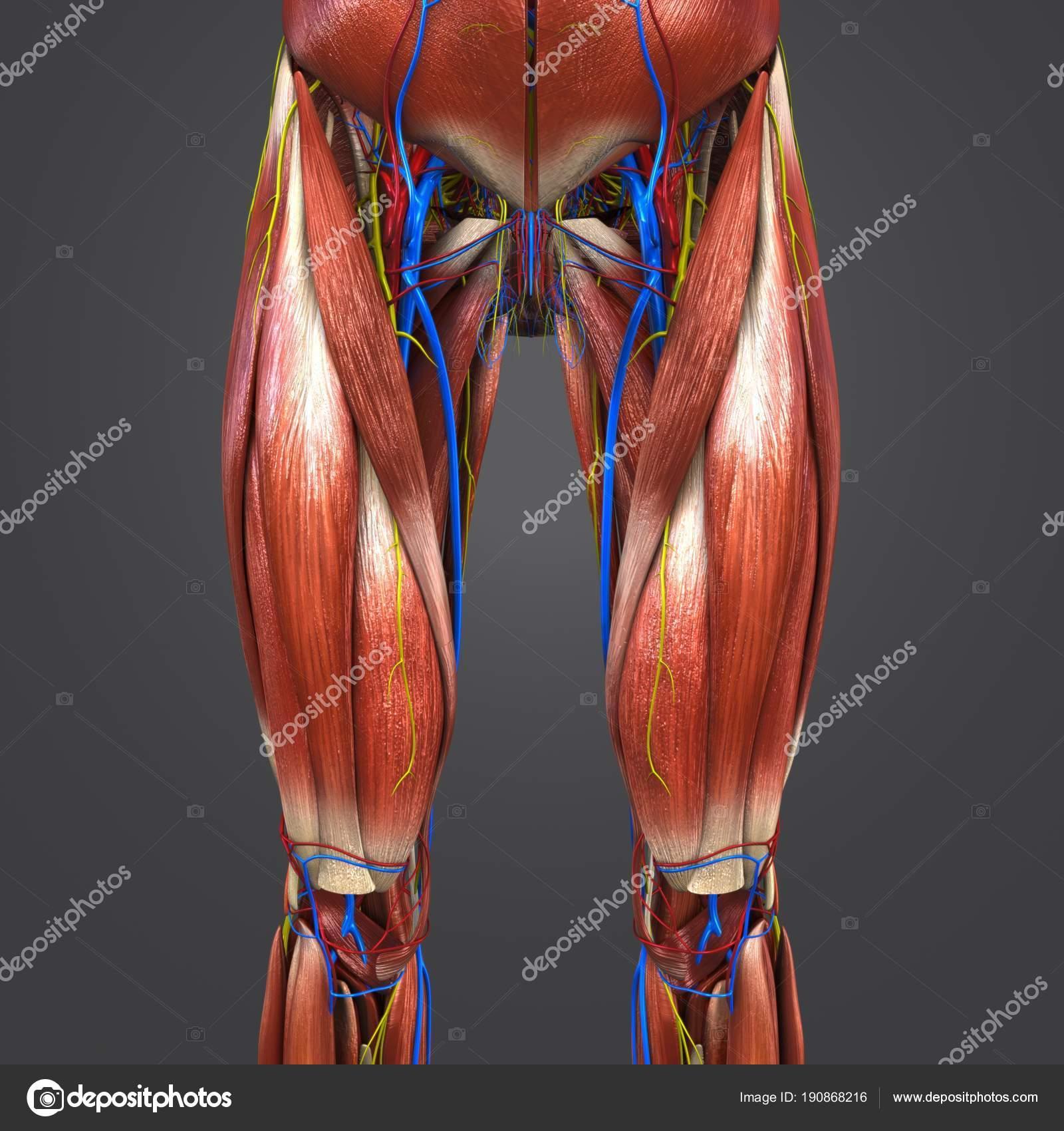 Colorful Medical Illustration Human Hips Thighs Muscles Circulatory