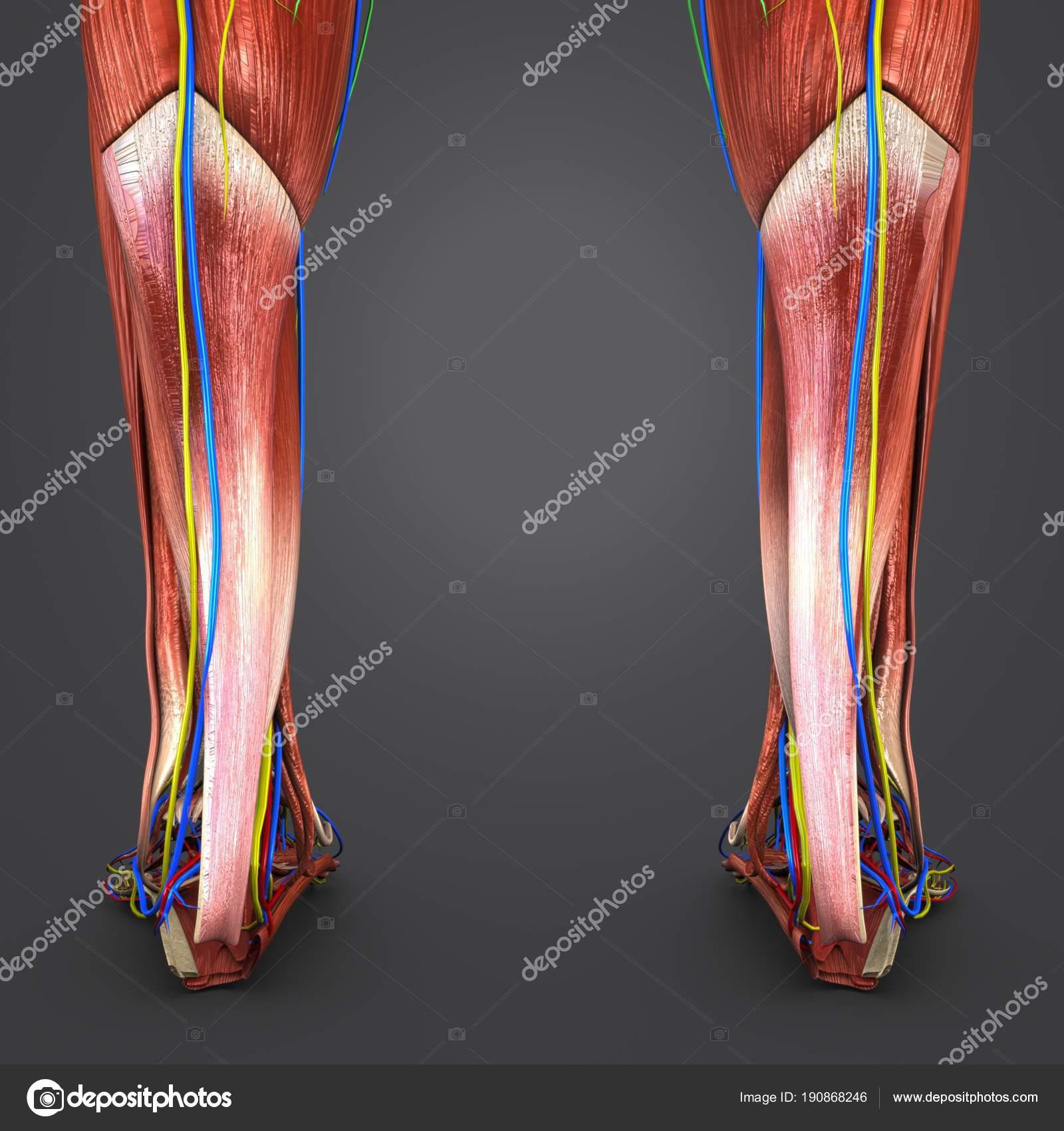 Bunte Medizinische Illustration Des Menschlichen Beine Muskeln Mit ...