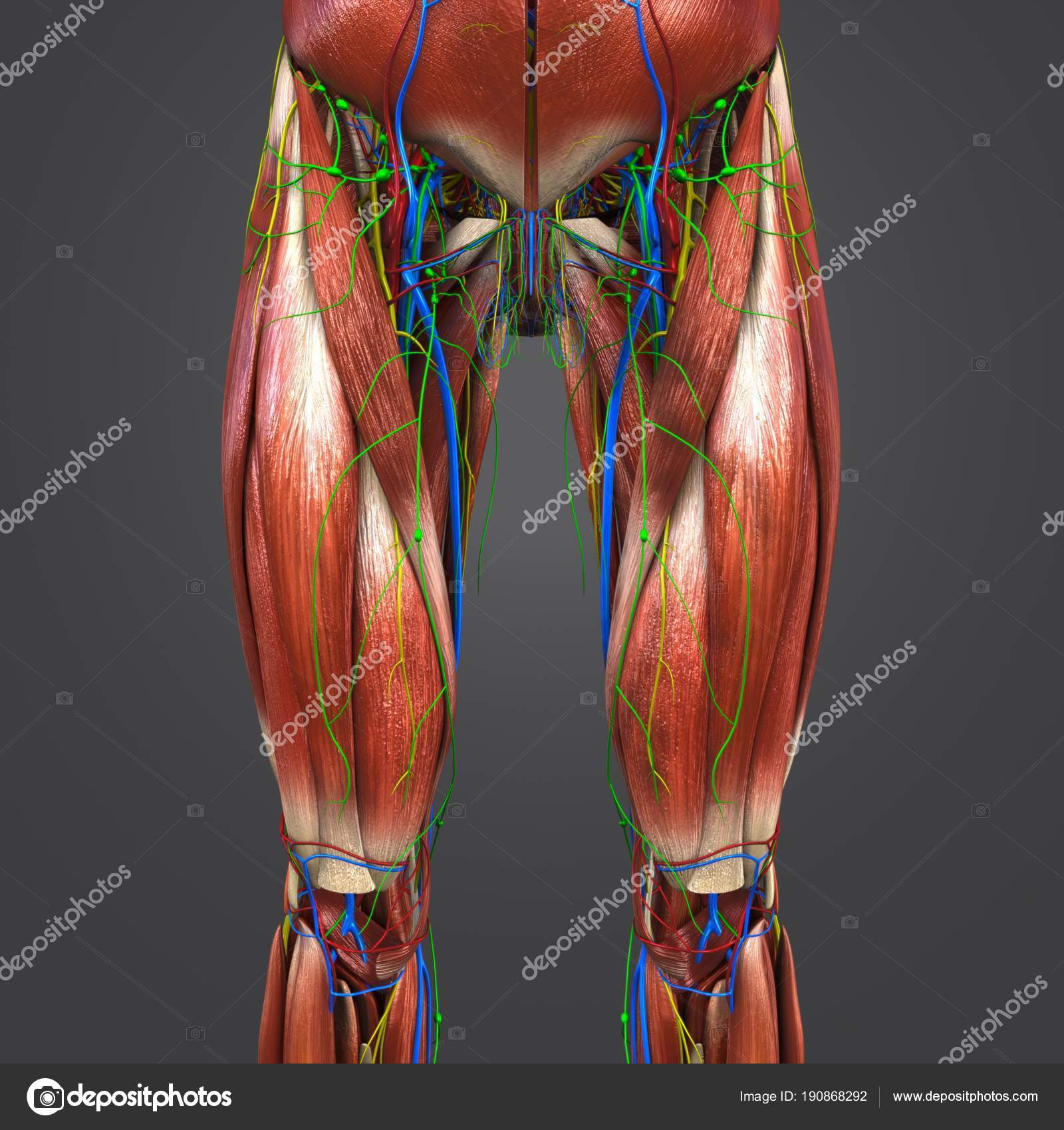 Colorful Medical Illustration Human Hips Thighs Muscles Circulatory ...