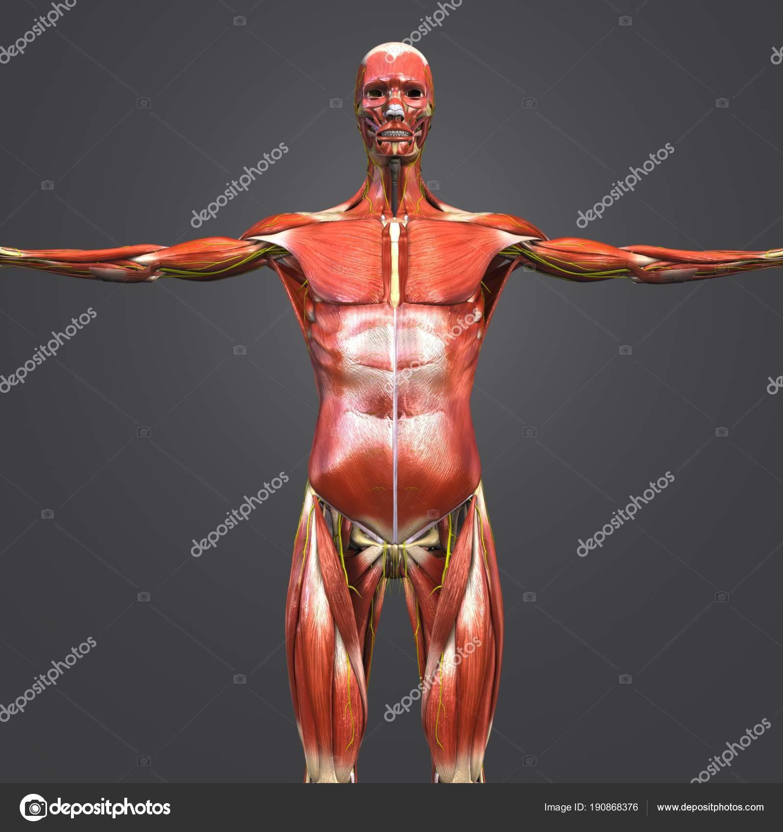 Colorida Ilustración Médica Anatomía Muscular Esquelética Humana Con ...