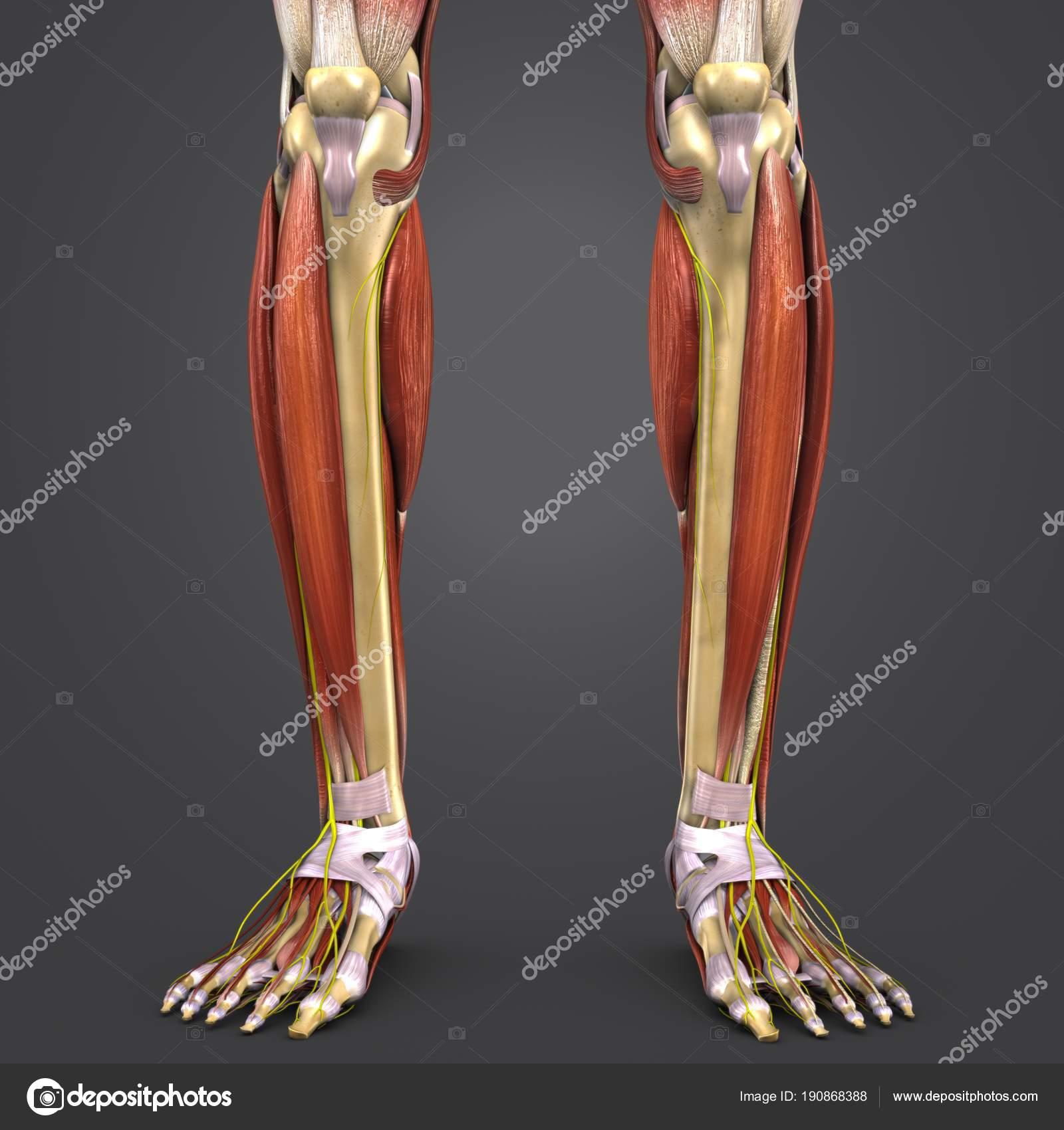 Bunte Medizinische Illustration Der Menschliches Beinmuskeln Und ...