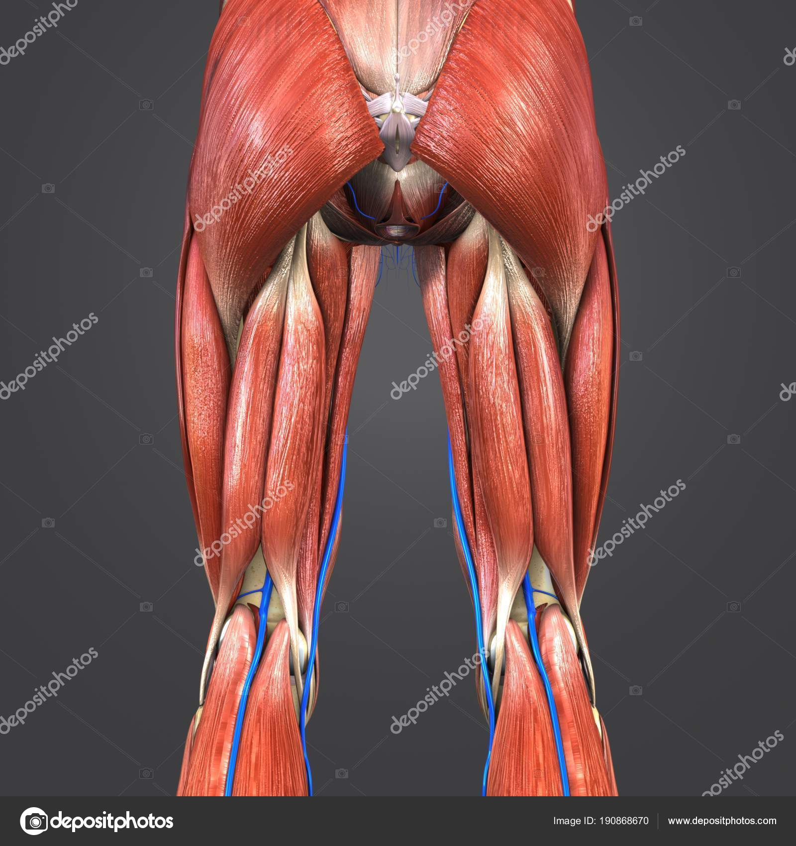 Colorful Medical Illustration Human Lower Limbs Veins — Stock Photo ...